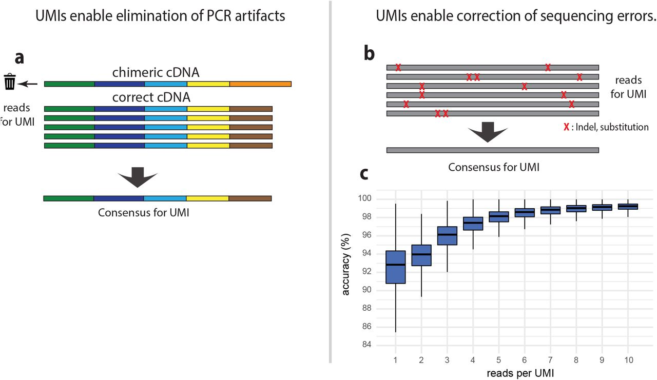 UMIs enable identification of PCR artefacts and sequencing error correction. (a) UMIs allow identification and elimination of reads originating from chimeric cDNA generated during PCR amplification. Chimeric cDNAs are mainly generated in later PCR cycles when cDNA concentration becomes higher. This results in a small fraction of reads ( , n : PCR cycle where chimera is generated) with aberrant exon layout. Those inconsistent reads are discarded, and the remaining reads are used to define the consensus cDNA sequence for the <t>UMI.</t> (b, c) UMIs enable sequencing error correction. Generation of consensus sequences for all reads associated with each UMI allows to obtain high accuracy sequences for each UMI <t>(RNA</t> molecule) despite the low accuracy of each Nanopore read. (c) the box plots indicate the accuracy of the cDNA consensus sequences (% identity to the reference genome) for different UMI sequencing depths. Boxes represent the 25% quantile to 75% quantile range, upper and lower edges of notches are median +/− 1.58 * IQR / sqrt(n) (IQR : inter quantile range, n: sample size).