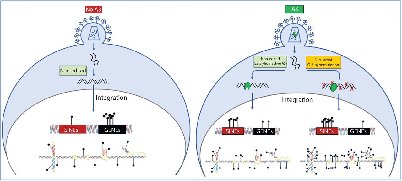 Effect of A3 proteins levels in virus producer cells on HIV-1 infection. VSV-G pseudotyped NL4-3-ΔEnv/ΔVif/eGFP was produced by co-transfection in 293T cells along with 30ng ( A and B ), 100ng (C and D) or 250ng ( E and F ) of A3 expression plasmids. Gel exposure controls, Comparative 1 and 2, represent co-transfection with 100ng of A3 W94A and A3 W127A plasmids, respectively. Control lane represents transfection with pcDNA3 only; virus lane is the co-transfection of pseudotyped virus along with the indicated amount (30ng, 100ng or 250ng) of pcDNA3 plasmid. CEM-SS cells were infected with pre-determined levels of capsid (p24) protein (20 ng, 100 ng or 500 ng) as measured by ELISA. The percentage of infected cells was determined by flow cytometry. Productively infected cells express the eGFP reporter gene encoded in the viral genome ( A, C and E ). Production of intracellular viral proteins was analyzed by Western blotting of transfected virus producer cells using anti-FLAG, anti-p24CA or anti-β tubulin antibodies ( B, D and F ).