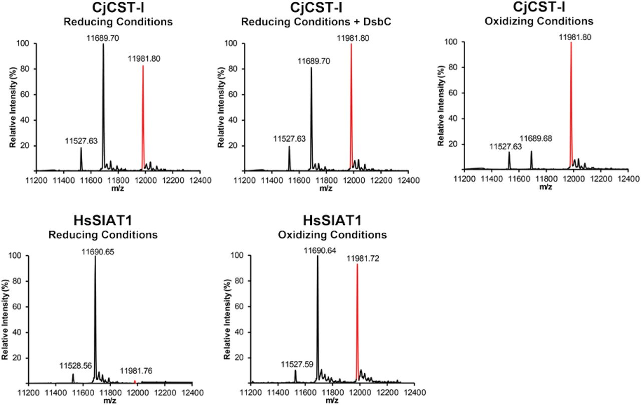 Exoglycosidase sequencing of Im7-6 modified by GlycoPRIME biosynthetic pathways containing sialic acids. Completed IVG reactions from the GlycoPRIME workflow where purified using Ni-NTA magnetic beads, incubated at 37°C for at least 4 h with and without indicated commercially available exoglycosidases, trypsinized overnight, and then analyzed by glycopeptide LC-MS. The α2-3 Neuraminidase S was able to remove the sialic acids installed by CjCST-I; PmST3,6; and the first sialic acid installed by CjCST-II, indicating that these enzymes were installed sialic acids with α2-3 linkages. Sialic acids installed by PdST6, HsSIAT1, as well as the second and third sialic acids installed by CjCST-II were resistant to digestion by α2-3 Neuraminidase S but were susceptible to cleavage by an α2-3,6,8 Neuraminidase which is consistent with the established α2-6 activity of PdST6 and HsSIAT1 and the α2,8 linkages installed by CjCST-II in subsequent sialic acid additions. See Methods section for exoglycosidase details. All spectra were acquired from full elution peak areas of all detected glycosylated and aglycosylated species of the Im7-6 tryptic peptide EATTGGNWTTAGGDVLDVLLEHFVK containing an ApNGT glycosylation acceptor sequence. All indicated glycopeptide products are triply charged ions consistent with this Im7-6 tryptic peptide modified with indicated sugar structures.
