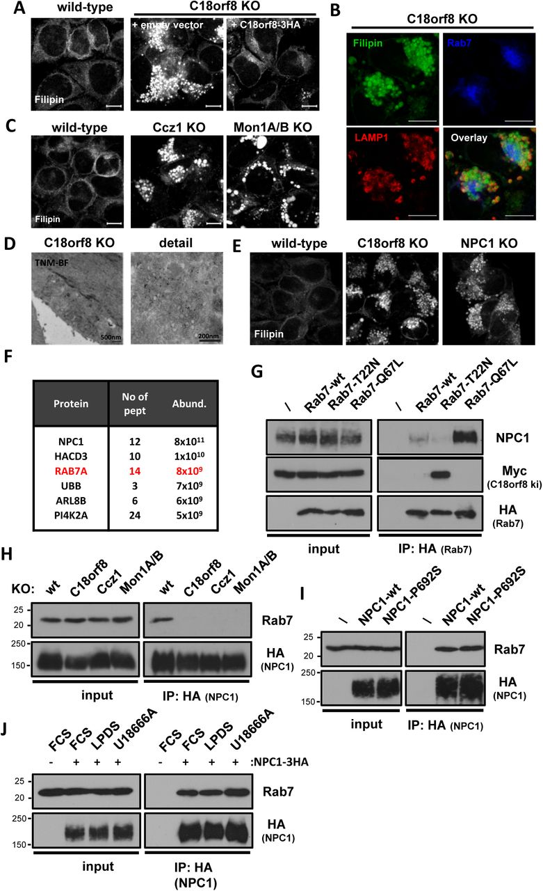 MCC -deficient cells lack an activation-dependent interaction between Rab7 and NPC1 and accumulate lysosomal cholesterol. ( A – C ) MCC -deficient cells accumulate lysosomal cholesterol and phenocopy NPC1 -deficiency. ( A ) Filipin staining of wild-type, C18orf8 -deficient and complemented C18orf8 -deficient cells; or ( C ) wild-type, Ccz1- and Mon1A/B -deficient cells. ( B ) Filipin co-staining with the LE/Ly markers Rab7 and LAMP1 in C18orf8 -deficient cells. ( D ) Theonellamides (TNM) immuno-gold labelling of C18orf8 -deficient cells, visualised by EM. ( E ) Filipin staining of wild-type, C18orf8 - and NPC1 -deficient cells. Scale bars = 10µm. ( F , G ) Rab7 interacts with the NPC1 cholesterol transporter in activation-dependent manner. ( F ) Immune-precipitation of HA-tagged NPC1 and detection of NPC1-interacting proteins using mass spectrometry. Interaction partners detected with > 2 peptides are indicated by abundance. ( G ) Immune precipitations of HA-tagged wild-type, dominant-negative (T22N) or constitutively active Rab7 (Q67L) reveal an activation-dependent interaction between Rab7 and endogenous NPC1. ( H ) The Rab7-NPC1 interaction is lost in MCC-deficient cells that lack Rab7 activation. Wild-type, C18orf8-, Ccz1 and Mon1A/B-deficient cells were stably transduced with the inactive NPC1-P692S-HA. HA-tagged NPC1 was immune precipitated and immune blotted for endogenous Rab7. The inactive NPC1-P692S was used to prevent altering lysosomal cholesterol content. ( I , J ) The Rab7-NPC1 interaction is independent of NPC1 activity or lysosomal cholesterol levels. ( I ) NPC1-deficient cells were complemented with HA-tagged wild-type or inactive P692S-mutant NPC1 and NPC1-HA immune-precipitations were analysed by immune blotting for endogenous Rab7. ( J ) Wild-type NPC1-HA complemented cells were treated with LPDS to decrease, or U18666A to increase lysosomal cholesterol levels and the NPC1-Rab7 interaction was probed using immune precipitation.