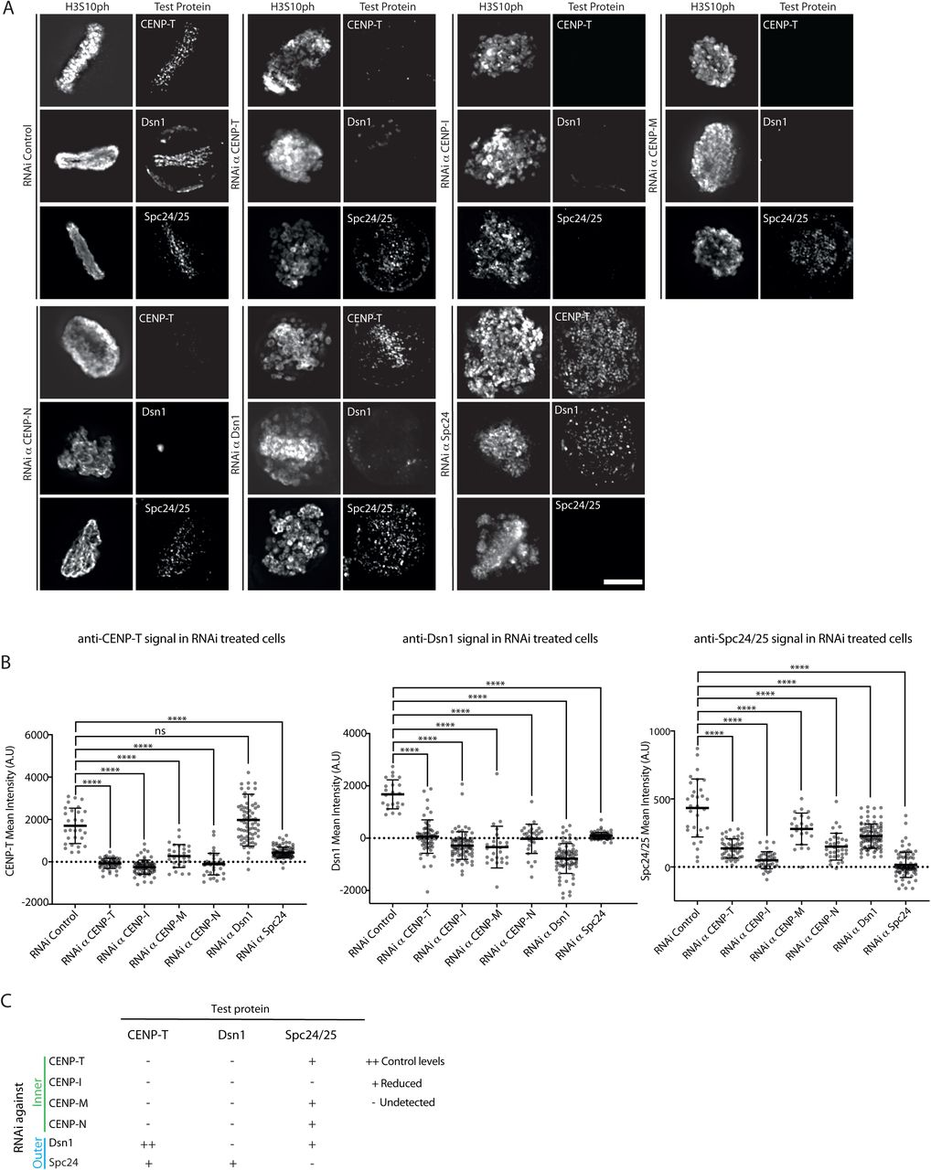 Depletion of CCAN components affects CENP-T and outer kinetochore recruitment in B. mori cells. A) Representative images of mitotic BmN4-SID1 cells showing the levels of endogenous CENP-T, Dsn1 and Spc24/25 with and without depletion of inner (CENP-T, CENP-I, CENP-M, CENP-N) and outer (Dsn1 and Spc24) kinetochore components. Scale bar: 10μm. B) Quantification of mean fluorescence intensity for CENP-T, Dsn1 and Spc24/25 signals in the control or upon kinetochore depletions. Statistical significance was tested using the Mann and Whitney test (p