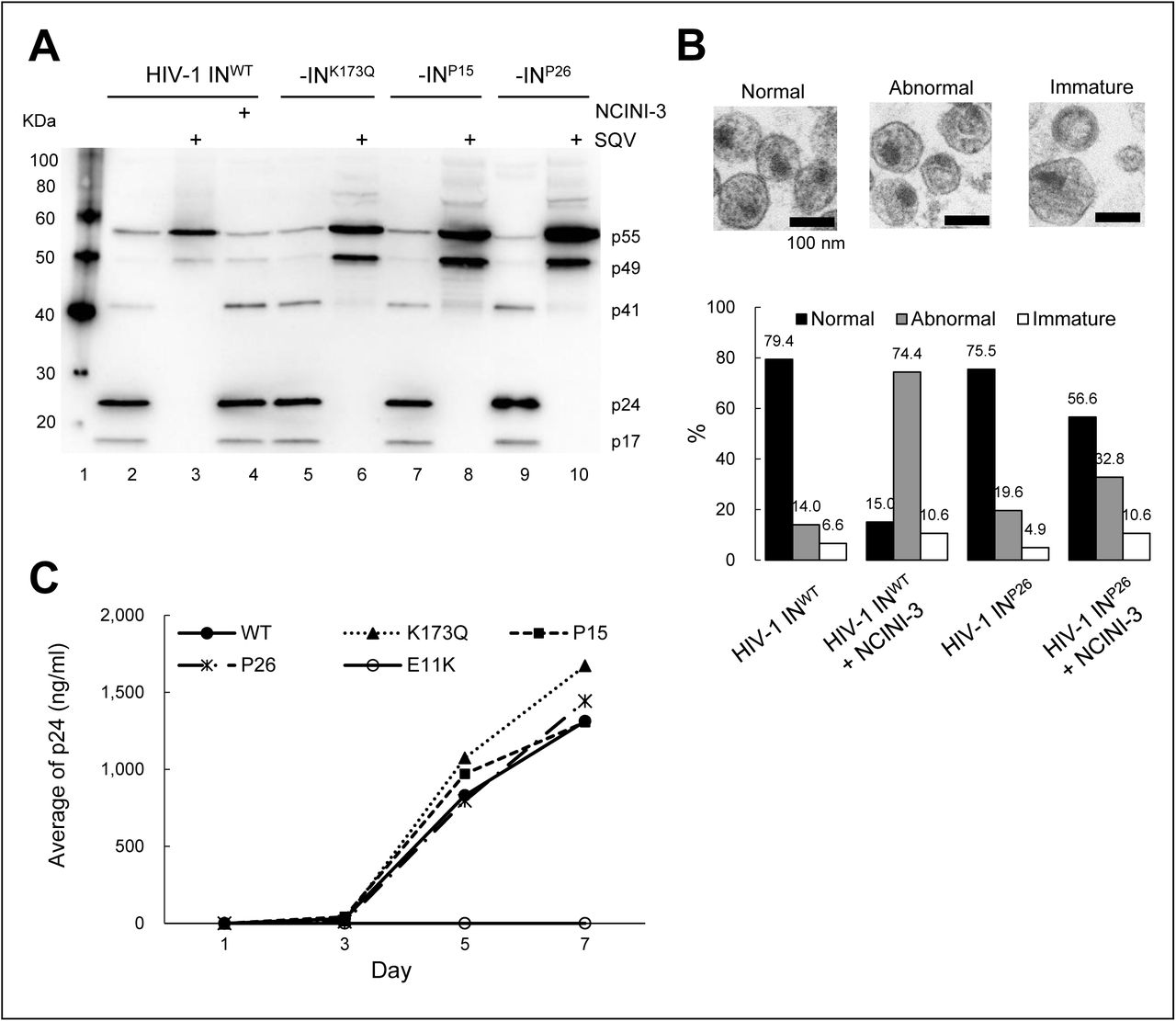 Characteristics of recombinant HIV-1 IN clones carrying the NCINI-3 resistance mutations with IN under-multimerization. (A) Gag proteolytic processing products of wild type and recombinant HIV-1 NL4-3 IN K173Q , -IN P15 , and -IN P26 clones, respectively. The HIV-1 IN clones produced by transfection of pNL 4-3 encoding the NCINI-3 resistance mutations in the presence (Lanes 3, 6, 8, and 10) or absence (Lanes 2, 5, 7, and 9) of 2 µM SQV, or in the presence of 20 µM NCINI-3 (Lane 4). Gag proteolytic processing products normalized with p24 levels of the HIV-1 IN clones are visualized by immunoblotting with anti-HIV-1 p55 + p24 + p17 antibody. ( B ) Morphologies of HIV-1 IN WT and HIV-1 IN P26 clone in the presence or absence of 20 µM NCINI-3 using TEM. Representative images of normal, abnormal, and immature HIV-1 particles (Magnification, 168,000 x scale bar, 100 nm) are shown at upper panel. Over 100 numbers of the HIV-1 particles are examined from several images of each HIV-1 sample, and percentages of HIV-1 morphology classified as normal, abnormal, and immature are shown in lower graph. ( C ) Replication kinetics of HIV-1 -IN WT -IN K173Q , -IN P15 , -IN P26 , and -IN E11K clones, respectively. MT-4 cells are exposed to the HIV-1 preparation normalized with the p24 levels, and production of the HIV-1 clones from the MT-4 cells is monitored at day 1, 3, 5, and 7 by p24 ELISA.