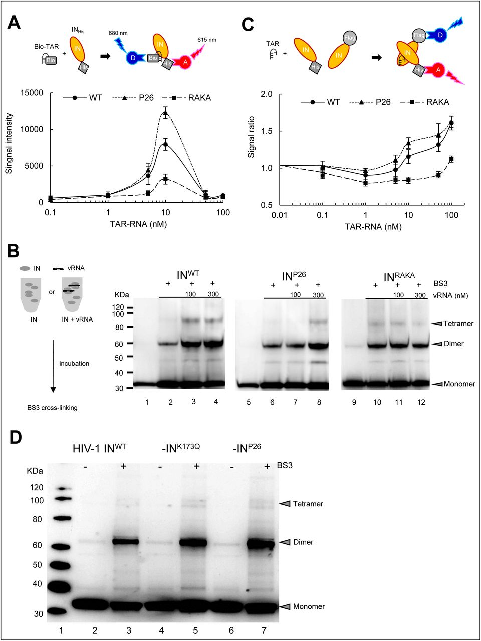HIV-1 RNA stabilizes and restores IN under-multimerization. ( A ) AlphaScreen assay 1 for direct binding between Bio-TAR and IN His . Schematic illustration indicates that streptavidin coated Donor (D) and anti-His Accepter (A) beads bind to Bio-TAR and IN His complex at upper panel. FRET signal intensity between IN proteins (IN WT , IN P26 , and IN RAKA at 10 nM) and Bio-TAR at various concentration is shown at left panel. Data represents mean values (±SD) derived from results of three independent experiments. ( B ) Multimerization of purified His-tagged IN WT , IN P26 , and IN RAKA proteins cross-linking with BS3. Schematic illustration of the method is shown at left panel. IN WT , IN P26 , and IN RAKA proteins at 300 nM are incubated with 100 and 300 nM of HIV-1 RNA (1-850 bp), respectively. IN WT , IN P26 , and IN RAKA proteins cross-linked with 0.05 mM of BS3 (Lanes 2, 3, 4, 6, 7, 8, 10, 11, and 12) are employed 7.5 µl, and without BS3 (Lanes 1, 5, and 9) employed 3 µl, and analysed by immunoblotting with anti-HIV-1 IN antibody. ( C ) AlphaScreen assay 2 for indirect IN multimerization between F-IN and IN His . Schematic illustration indicates that anti-Flag coated D and anti-Nickel coated A beads bind to a dimer of F-IN and IN His . FRET signal intensity between IN His and F-IN proteins (IN WT , IN P26 , and IN RAKA , respectively) with various concentration of TAR-RNA is shown as a signal ratio to the signal without TAR-RNA. Data represents mean values (±SD) derived from three independent experiments. ( D ) Profile of IN multimerization in HIV-1 NL4-3 IN WT , -IN K173Q , and -IN P26 viral particles. HIV-1 IN WT , -IN K173Q , and -IN P26 clones are purified by ultracentrifugation. MW (Lane 1), the high concentrated HIV-1 samples stripped the viral membrane are cross-linked with (Lanes 3, 5, and 7) or without (Lanes 2, 4, and 6) BS3, and visualized by SDS-PAGE with anti-HIV-1 IN antibody.