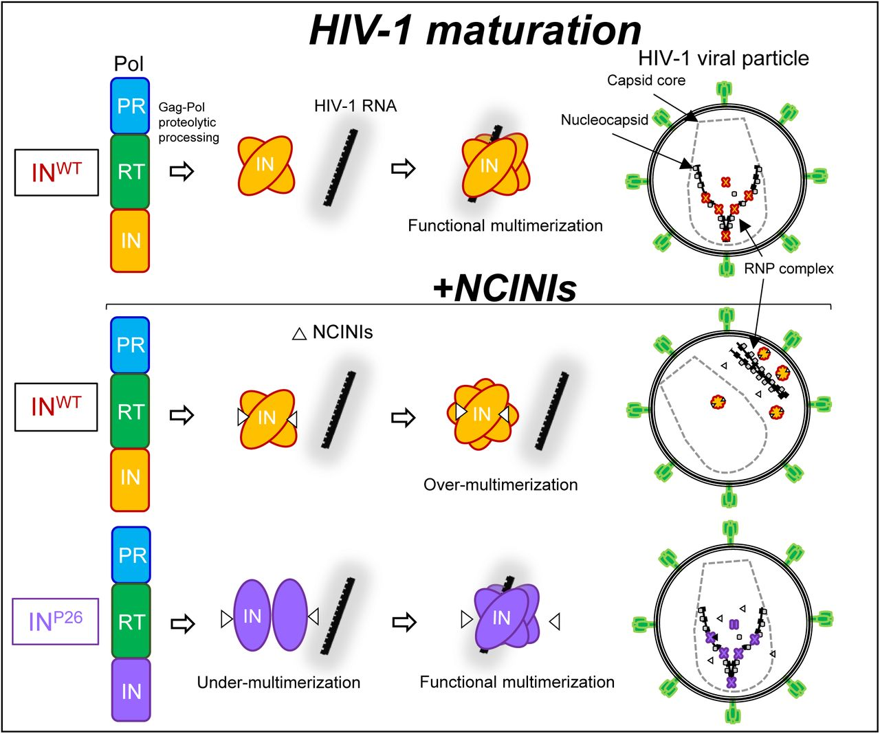 Graphical article during HIV-1 maturation. Schematic illustration focuses on the interaction of IN multimerization with HIV-1 RNA, and the location of the RNP in the viral particles during HIV-1 maturation from Gag-Pol proteolytic processing. Upper illustration indicates that normal interaction of functional IN multimerization with HIV-1 RNA results in mature HIV-1. Middle illustration shows that over-multimerized IN proteins induced by NCINIs are not able to interact with HIV-1 RNA, producing immature HIV-1 in which the RNP complex translocated from the capsid core. Lower illustration indicates that under-multimerized IN P26 can escape from NCINIs binding and is restored to IN P26 with functional multimerization by HIV-1 RNA binding, producing mature HIV-1 in the presence of potent NCINIs.
