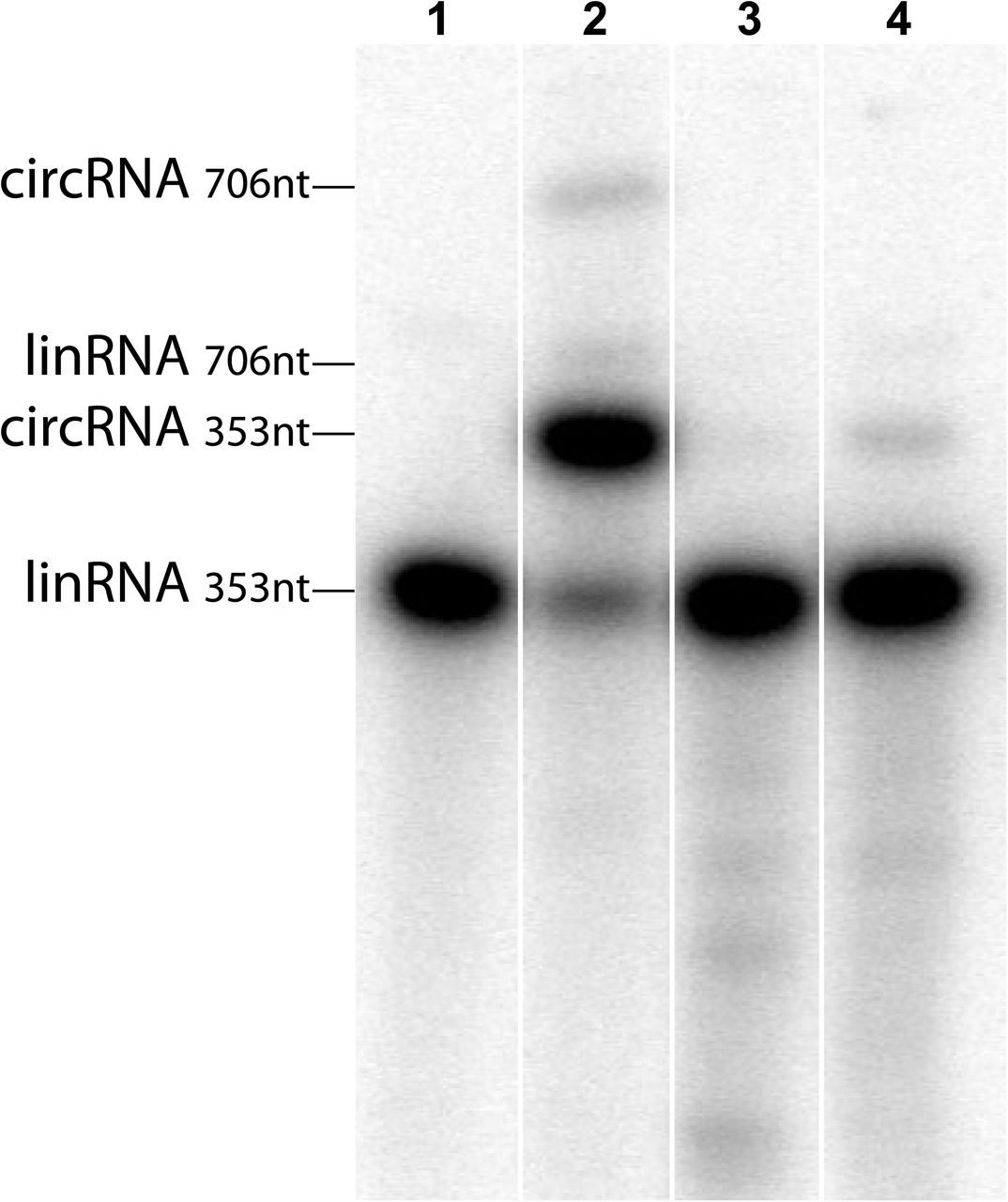 Circularization of Mexican axolotl self-cleaved <t>retrozyme</t> RNA. Purified linear monomeric RNA resulting from double self-cleavage of DRtz353 (see Figure 4C ) was run directly in a denaturing gel (lane 1), after 1h incubation with <t>RtcB</t> ligase in its corresponding buffer (lane 2), in RtcB buffer without protein ligase (lane 3), and in 50 mM Mg 2+ buffer (lane 4). Circular RNAs can be readily detected in lane 2 (up to 80% circularization for the 350 nt monomer) and lane 4 (3% self-circularization for the 350 nt monomer). Minor fractions of linear and circular dimeric RNAs are also indicated (lane 2).