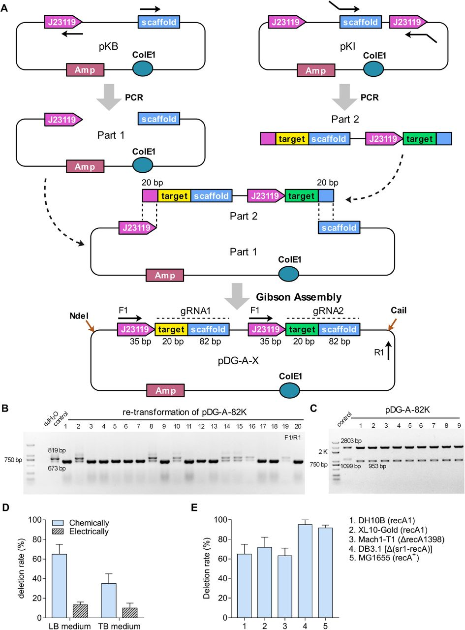 The design and stability of DRs-involved paired-gRNA plasmids pDG-A-100K in E. coli . A) The modular construction strategy of pDG-A-X series. pKB plasmid was used for PCR amplification of DNA part 1, which contained pDG-A-X backbone, one constitutive promoter J23119, and a gRNA scaffold. pKI plasmid was used for PCR amplification of part 2 series, which contained a gRNA fragment followed by another constitutive promoter J23119 and 20-bp target sequence. For the PCR reaction, the 20-bp sequences specific for two targeted loci and the 20-bp overlap sequences for Gibson Assembly were embedded in primers as a part of insert. Gibson Assembly method was preformed to assemble these parts into pDG-A-X series. B) Representative PCR results for the deletion rate of pDG-A-100K after re-transformation process in E. coli . C) The double restriction enzyme digestion analyses of pDG-A-100K and its deletion derivations. D) The deletion rates of pDG-A-100K when introduced by chemical transformation or electroporation and cultured in the condition of Luria-Bertani (LB) medium or Terrific Broth (TB) medium. Data are expressed as means ±s.d. from three independent experiments. E) The deletion rates of pDG-A-100K after the re-transformation process in various strains of E. coli . Data are expressed as means ±s.d. from three independent experiments.