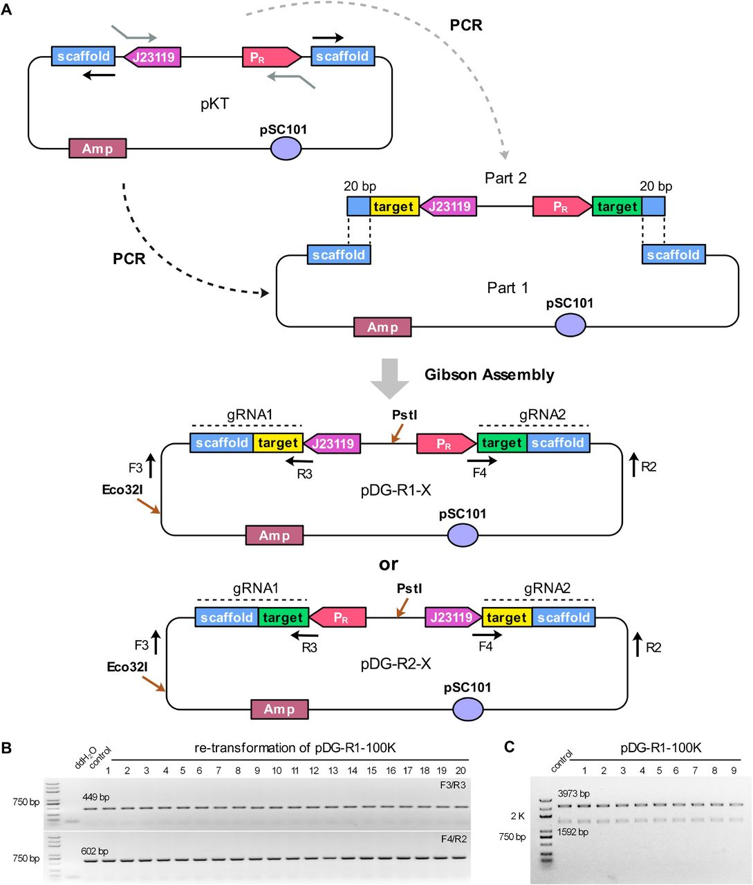 The design and stability of RPGPs pDG-R-100K in E. coli . A) The modular construction strategy of pDG-R-X series. pKT plasmid was designed for PCR amplification of DNA part 1 and part 2 series. DNA part 1 which contained pDG-R-X backbone and two reversed repeated gRNA scaffolds was amplified by using only one prime. DNA part 2 contained two different promoters followed by a 20-bp target sequence respectively. For the PCR reaction, the 20-bp sequences specific for two targeted loci and another 20-bp overlap sequences for assembly were embedded in primers as a part of insert. Gibson Assembly method was preformed to assemble these parts into pDG-R1-X or pDG-R2-X series. B) Representative PCR results of pDG-R1-100K after re-transformation process in E. coli . C) The double restriction enzyme digestion analyses of pDG-R1-100K and its derivations.