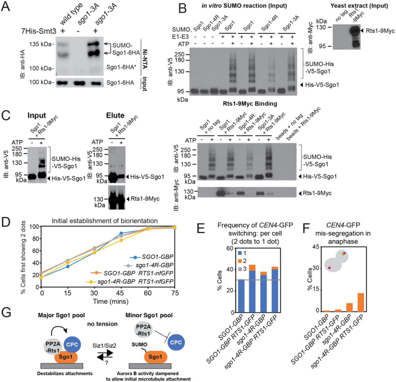 SUMOylation blocks Rts1 binding to Sgo1 and release of this interaction is important for stable biorientation. (A) The Sgo1-3A mutant which fails to associate with PP2A-Rts1 or CPC shows enhanced SUMOylation. In vivo SUMOylation assay was performed on wild type (AMy7655) and sgo1-3A (AMy25988) strains carrying SGO1-6HA . (B) SUMOylated Sgo1 has reduced binding affinity for Rts1. Recombinant V5-tagged Sgo1 was mixed with components of the SUMOylation pathway in the presence or absence of ATP. Anti-V5 antibody coupled <t>Protein</t> G <t>dynabeads</t> were added to the mixture, washed thoroughly and incubated with extract from sgo1 Δ or sgo1 Δ RTS1-9MYC (AMy8832). Levels of Sgo1 and Rts1 bound to beads were probed by anti-V5 and anti-Myc western blotting, respectively. (C) Rts1 preferentially binds to unsumoylated Sgo1. Rts1-9MYC was immunoprecipitated from sgo1 Δ RTS1-9MYC (AMy8832) using anti-MYC antibody coupled to Protein G dynabeads. Beads were incubated with in vitro SUMOylation reaction mixture containing Sgo1. Levels of Sgo1 and Rts1 bound to beads were probed by anti-V5 and anti-Myc western blotting, respectively. (D-F) Biorientation is unstable when Rts1 is tethered to wild type Sgo1 or Sgo1-4R. Strains used contained CEN4-mNeonGreen MET-CDC20 and SPC42-tdTOMATO and were SGO1-GBP (AMy28389), SGO1-GBP RTS1-non-fluorescent GFP (AMy28092), sgo1-4R-GBP (AMy28417) and sgo1-4R-GBP RTS1-non-fluorescent GFP (AMy28416). The assay was performed as described in Figure 5C . (D) Tethering Rts1 to wild type Sgo1 or Sgo1-4R does not affect the initial establishment of biorientation. (E) Increased reassociation of CEN4-mNeonGreen dots was observed when Rts1 was tethered to wild type Sgo1 or Sgo1-4R. (F) Mis-segregation is only modestly increased when Rts1 is tethered to wild type Sgo1 or Sgo1-4R. (G) Schematic model of how Sgo1 SUMOylation may alter the kinase-phosphatase balance to initiate error correction silencing and promote anaphase onset. For details, see text