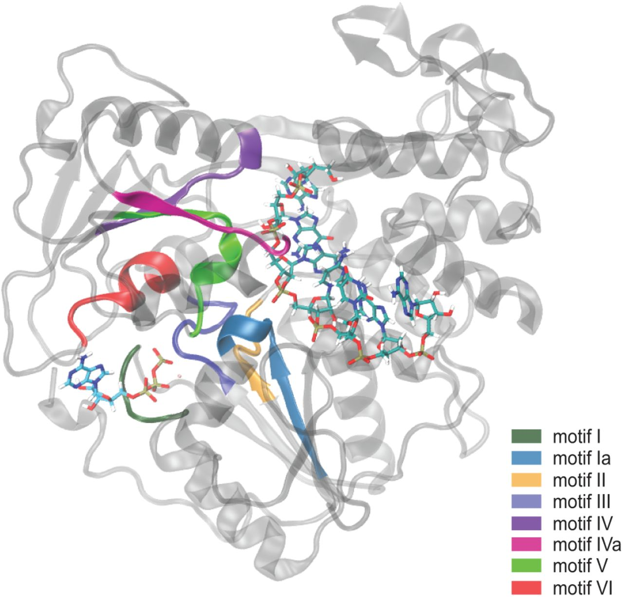 Eight structural motifs of Flavivirus NS3 helicases are highly conserved. The structural Motifs (I, Ia, II, III, IV, IVa, V, VI) are located between the <t>ATP</t> binding pocket and <t>RNA</t> binding cleft. Each Motif is highlighted as follows: Motif I in dark green; Motif Ia in blue; Motif II in orange; Motif III in royal blue; Motif IV in purple; Motif IVa in magenta; Motif V in lime green; Motif VI in red.