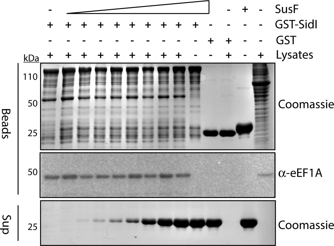 eEF1A interacts with the SidI-SusF complex. Lysates from E. coli expressing GST-SidI or GST alone were incubated with magnetic glutathione agarose beads and washed followed by addition of 10, 25, 50, 100, 200, 400, 800 or 1000 µg of purified recombinant SusF (shown as increasing amounts in supernatants from beads). Beads were subsequently incubated with lysates from HEK 293T cells. Proteins remaining on the beads were separated by SDS-PAGE and visualized by Coomassie stain or Western blot