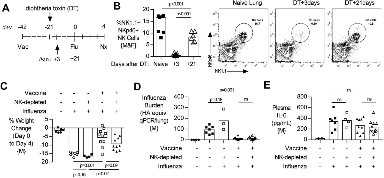 Depletion of NK cells after vaccination, and subsequent repopulation, does not alter lung viral burden, disease severity or systemic inflammation after challenge. (A) Transgenic C57BL/6 mice with NKp46 driven expression of diphtheria toxin (DT) receptor were vaccinated 42 days (d) prior to intranasal influenza (Flu) challenge and treated with DT (NK-depleted) 21 days prior to challenge with necropsy (nx) at 4 days post influenza challenge. (B) At 3 and 21 days post DT treatment, lungs were excised and single cells isolated for flow cytometry for the proportion (%) of NK1.1+, NKp46+ NK cells. (C) Weight loss at 4 days post influenza challenge. (D) Lung cell-free supernatants were analyzed by qPCR for influenza viral burden (plotted against a dose curve of Flu with known HAU, giving HAU equivalents). (E) Plasma levels of IL-6 (pg/mL). (B) NK cell depletion data a pool of two independent experiments, (n=2/group of male {M} mice) and (n=5-6/group of female {F} mice). (C-D) Data a pool of two independent experiment (n=4-10/group); all male {M} mice. Dots represent individual mice with bars showing mean. Significance determined by Mann-Whitney test, ns = not significant.
