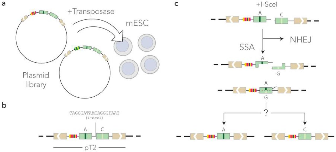 Experimental approach. a) mouse ES cells in culture are co-transfected with a barcoded reporter library and the Sleeping Beauty 100X transposase. b) The reporters in the <t>pT2</t> transposon backbone are integrated at random in the mouse genome. c) Mismatches occur during the repair of a double-strand break induced by the transient expression of I-SceI. If the double-strand break is repaired through Non Homologous End Joining (NHEJ), no mismatch is formed. If it is repaired by Single Strand Annealing (SSA), a mismatch is formed and repaired in favor of one of the two nucleotides. Sequencing the construct reveals the outcome of DNA repair at different locations identified with the barcode.