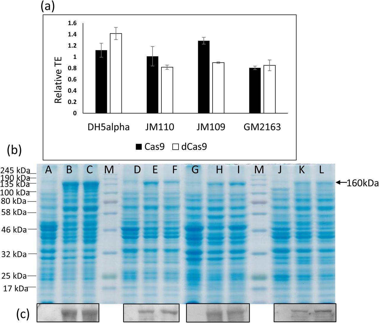 Cas9/dCas9 associated toxicity in <t>E.</t> <t>coli</t> strains that are dam + /dcm + or dam − /dcm − .Four E. coli strains were transformed with pRAD1 or pRA-Cas9 or pRA-dCas9 and transformants were elected on carbenicillin selection plates. The CFU were enumerated to determine TE (a). Results are from experiments repeated four times. (b) <t>Protein</t> extracts from E. coli strains, DH5alpha (Lanes A, B,C), JM110 (Lanes D, E, F), JM109 (Lanes G, H, I) and GM2163 (Lanes J, K,L) carrying pRAD1 (Lanes A, D, G and J) or pRA-Cas9 (Lanes B, E, H and K) or pRA-dCas9 (Lanes C, F, I and L) were separated by gel electrophoresis and stained with Coomassie Brilliant Blue (b) or developed for Western blot using Anti-Cas9 antibody (c).
