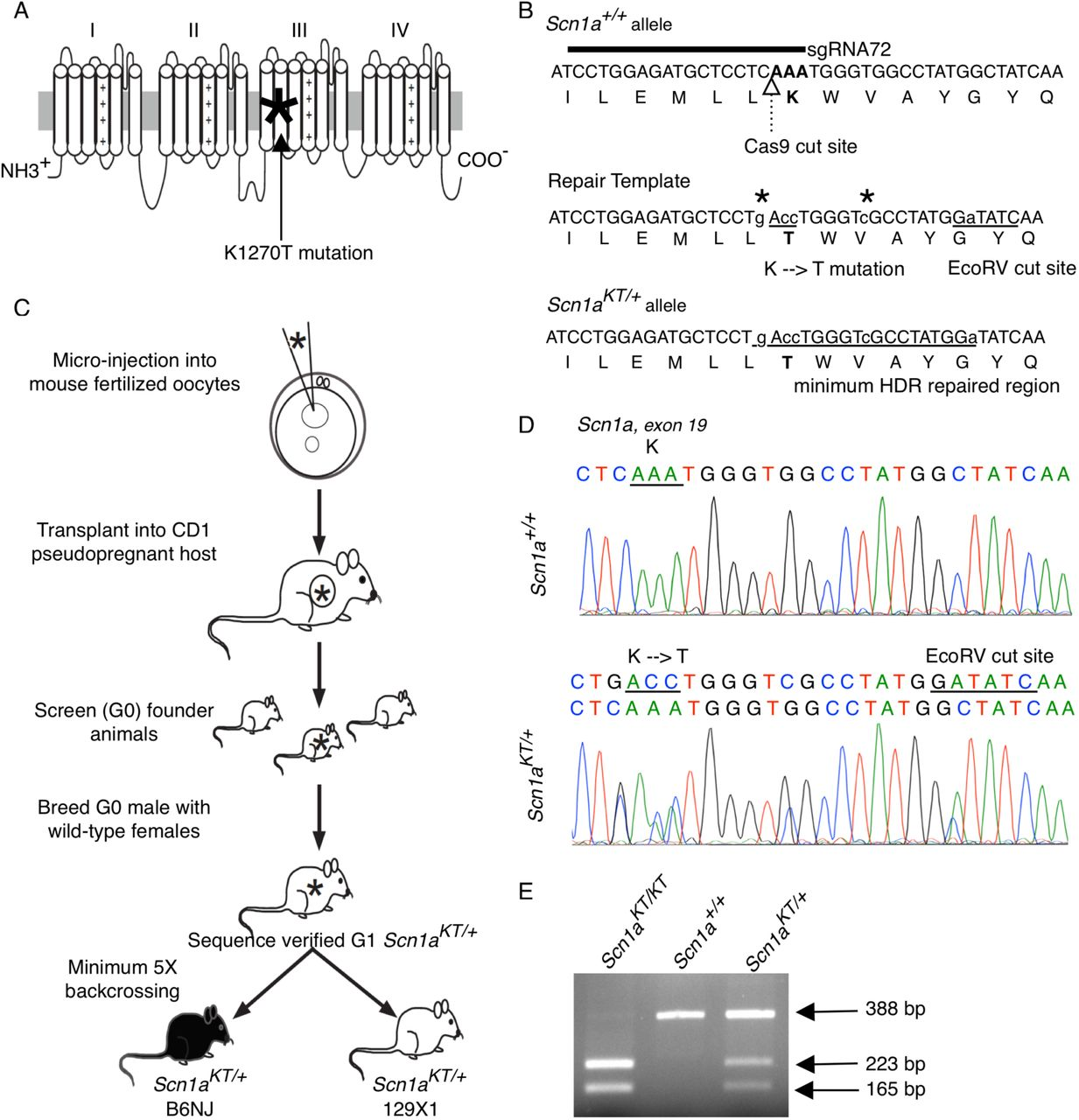 Generation of Scn1a KT/+ mouse using CRISPR/Cas9 technology. (A) GEFS+ causing K1270T mutation (asterisk) is located in S2 transmembrane segment of domain III of the alpha subunit of Nav1.1 ion channel encoded by the human SCN1A gene. (B) Location of the guide RNA relative to the Cas9 cut site and the locus of the K1259T mutation in the mouse Scn1a gene and the Nav1.1 protein sequence. Repair template sequence with the base pair changes introducing the K-T mutation and the EcoRV cut site. All edited nucleotides are shown in lowercase letters and the homology-dependent repair region is represented by underlined letters. Two additional silent mutations (asterisks) were added to prevent re-cutting by Cas9 following HDR. (C) Outline of the steps followed to generate transgenic K1270T mouse colonies in B6NJ and 129×1 genetic backgrounds via CRISPR/Cas9 gene editing. (D) DNA sequence comparison between a wild-type ( Scn1a +/+ ) and a heterozygous ( Scn1a KT/+ ) mouse showing missense K-T mutation and another silent mutation that results in an EcoRV cut site. (E) A representative agarose gel shows PCR amplified DNA bands digested with EcoRV which distinguishes between mice homozygous for the mutant allele, Scn1a KT/KT (223 bp and 165 bp), Scn1a +/+ wild-type mice homozygous for the wild-type allele (388bp) and heterozygous Scn1a KT/+ mice carrying one copy each of wild-type (388 bp) and mutant (223 and 165 bp) alleles.