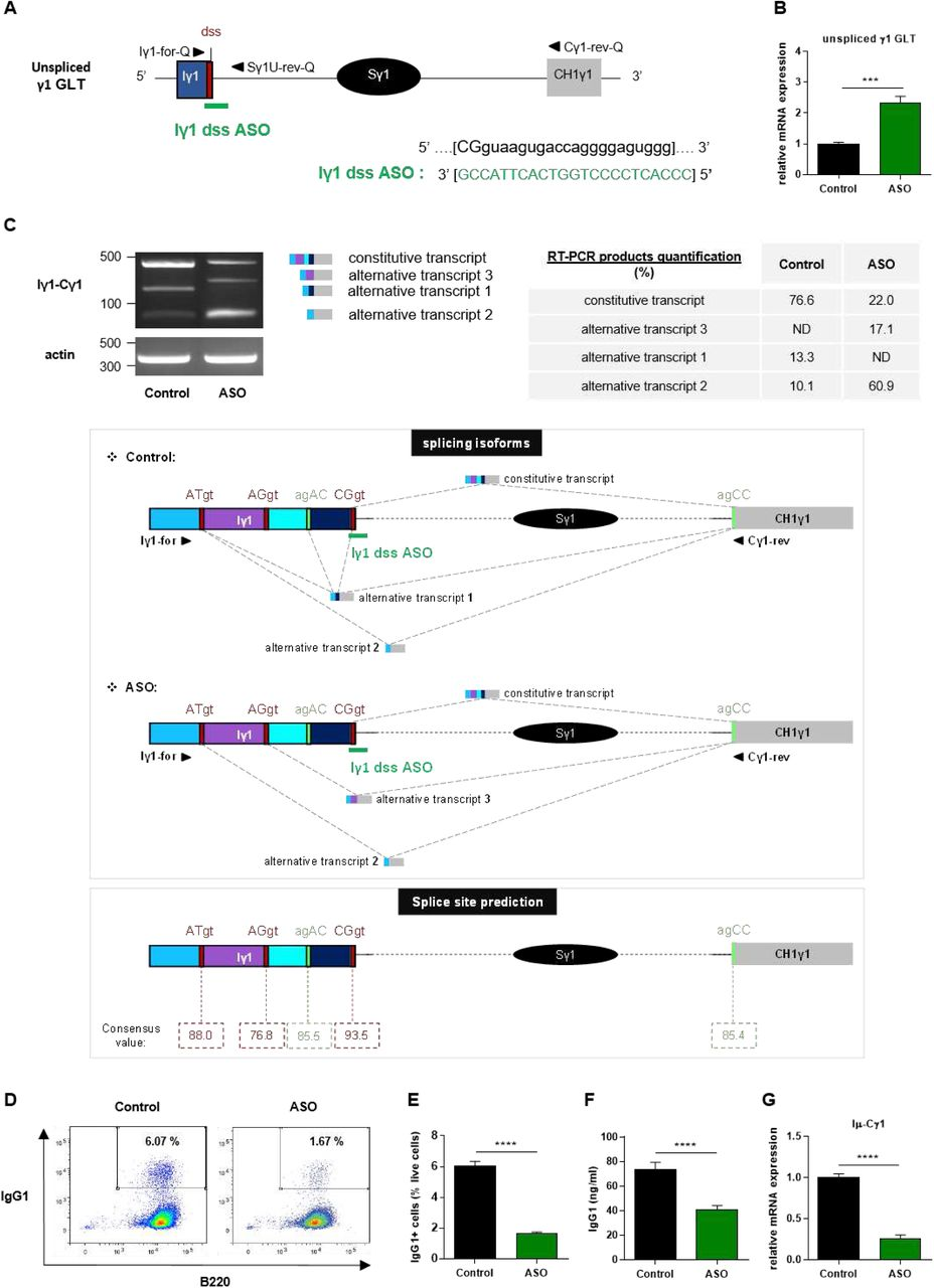 """Treatment with Iγ1 exon dss ASO inhibited γ1 GLTs constitutive splicing and IgG1 class switching in B cells (A) Antisense oligonucleotide targeting the donor splice site of Iγ1 exon (Iγ1 dss ASO) was designed and synthetized as """"vivo-morpholino ASO"""" permitting passive administration of ASO in cells (Gene Tools, LLC). Targeted γ1 GLT (uppercase: exon sequence; lowercase: intron sequence) and Iγ1 dss ASO sequences are indicated. Iγ1, γ1 I exon; Sγ1, γ1 switch region; CH1γ1, γ1 constant exon 1; dss, donor splice site. (B-G) Splenic B cells were isolated from C57BL/6 mice, stimulated with LPS + IL4 and treated with 2 μM Iγ1 dss ASO (ASO) or an irrelevant ASO (control) during 2 days (B-C) or 3 days (D-G). (B) Unspliced γ1 GLTs expression relative to GAPDH mRNA expression was monitored by quantitative RT-PCR using Iγ1-for-Q and Sγ1U-rev-Q primers described in schema A. Expression of γ1 GLTs in control B cells was normalized to 1. (C-up) RT-PCR was performed using Iγ1-for and Cγ1-rev primers (position described in schema C-middle) to identify constitutively and alternatively spliced transcripts. PCR products were analysed on agarose gels. Expression of actin mRNA is also shown. Molecular markers in base pairs are indicated. Schematic representation of the different γ1 spliced transcripts is indicated on the right and transcript sequences are given in Supplementary figure 3. One experiment out of three is shown. Quantification of amplification products was done using an Agilent Bioanalyzer. Data are expressed as percentage of each isoforms among the detected transcripts. ND: not detected. (C-middle) Schematic representation of γ1 spliced transcripts detected in B cells from C57BL/6 mice after treatment with an irrelevant ASO (control) or Iγ1 dss ASO (ASO). Grey hatched lines represent splicing events involving constitutive and alternative splice sites. Donor and acceptor splice sites are indicated in red and green respectively. (C-down) Consensus value (ranging from 0 to 10"""