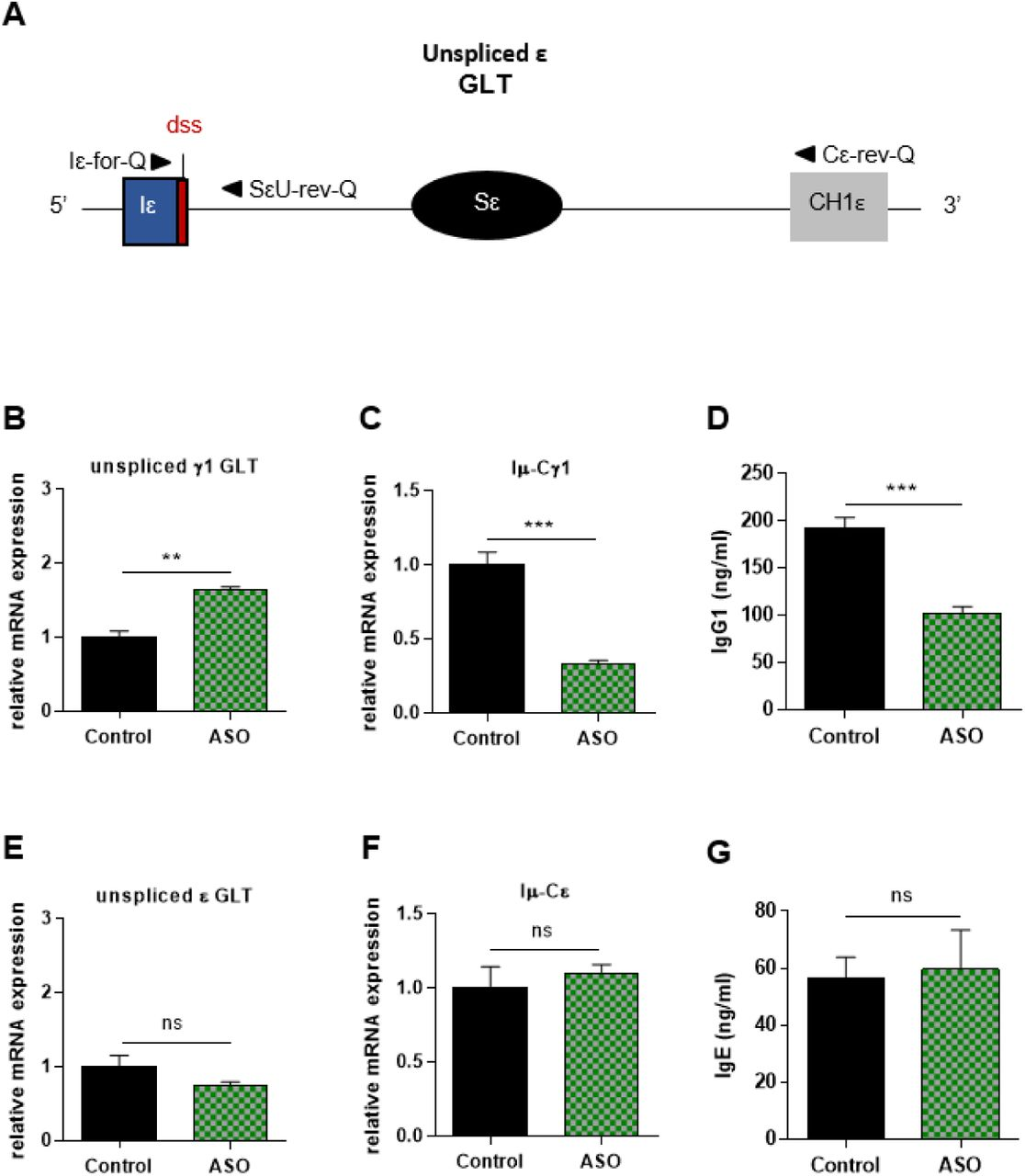 Specific IgG1 class switching inhibition in B cells treated by Iγ1 exon dss ASO Splenic B cells were isolated from C57BL/6 mice, stimulated with anti-CD40 + IL4 and treated with 2 μM Iγ1 dss ASO (ASO) or an irrelevant ASO (control) during 2 days (B, E) or 4 days (C, D, F, G). (A) Schematic representation of unspliced ε GLT. Iε, ε I exon; Sε, ε switch region; CH1ε, ε constant exon 1; dss, donor splice site. (B, E) Unspliced γ1 (B) and ε (E) GLTs expression monitored as described in figure 2 . Iε-for-Q and SεU-rev-Q primers, described in schema A, were used for ε GLTs expression determination. (C, F) Post-switch Iμ-Cγ1 and Iμ-Cε mRNA expression monitored as described in figure 2 . (D, G) Quantification of IgG1 and IgE in culture supernatants by ELISA. (B-G) Data are means ± SEM of two independent experiments, n=3 to 4 for each group. Unpaired two-tailed Student's t test was used to determine significance. ns: non significant, ** P