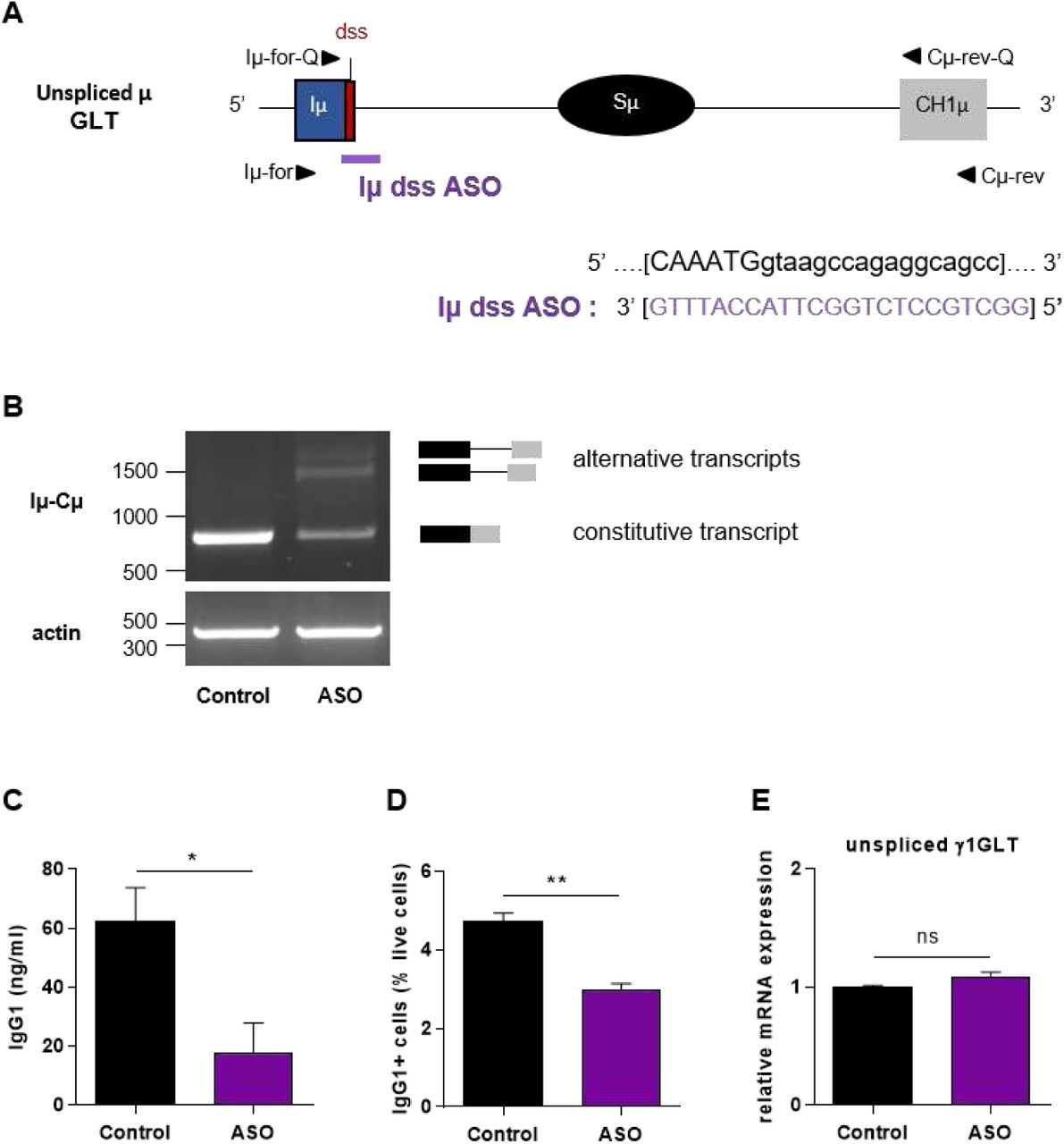 """Defective IgG1 class switching in B cells treated by Iμ exon dss ASO (A) Antisense oligonucleotide targeting the donor splice site of Iμ exon (Iμ dss ASO) was designed and synthetized as """"vivo-morpholino ASO"""" permitting passive administration of ASO in the cells (Gene Tools, LLC). Targeted μ GLT (uppercase: exon sequence; lowercase: intron sequence) and Iμ dss ASO sequences are indicated. Iμ, μ I exon; Sμ, μ switch region; CH1μ, μ constant exon 1; dss, donor splice site. (B-E) Splenic B cells were isolated from C57BL/6 mice, stimulated with LPS + IL4 and treated with 2 μM Iμ dss ASO or an irrelevant control ASO for 2 days (B, E) or 3 days (C, D). (B) Constitutively and alternatively spliced μ transcripts analysed as described in figure 2 using Iμ-for and Cμ-rev primers, described in schema A. (C) Quantification of IgG1 in culture supernatants by ELISA. (D) Percentage of IgG1 positive cells determined by flow cytometry as described in figure 2 . (E) Unspliced γ1 GLTs expression monitored as described in figure 2 . (C-E) Data are means ± SEM, n=3 for each group. Unpaired two-tailed Student's t test was used to determine significance. ns: non significant, * P"""
