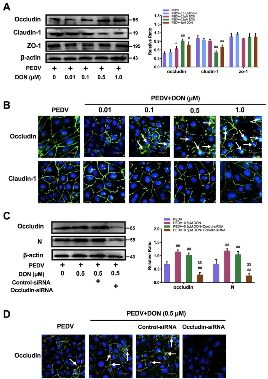 Occludin internalization was required for DON-promoted PEDV entry in IPEC-J2 cells. (A, B) Effects of various concentrations DON on the expression and distribution of tight junction proteins in PEDV-infected IPEC-J2 cells. (C, D) Effects of occludin konckdown on PEDV entry in IPEC-J2 cells exposed to 0.5 μM DON. IPEC-J2 cell monolayers were infected with 2 MOI PEDV and further cultured as indicated. Cell lysates were subjected to immunoblotting (A, C) with antibodies to ZO-1, occludin, claudin-1, PEDV-N protein or β-actin (loading control) and subjected to IFA (B, D) with antibodies to occludin (green), claudin-1 (green) and PEDV-N protein (red). Cell nuclei were stained with DAPI (blue). The scale bar indicates 20 μm. The data are expressed as mean ± SD (n=3). # P