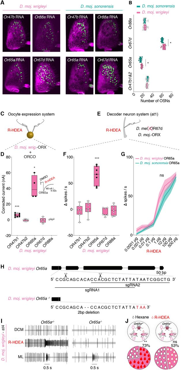 Conserved detection mechanism of R-HDEA among D. mojavensis subspecies. A, Expression of olfactory receptor genes ( OrX: Or47b, Or88a, Or65a and Or67d ) in D. moj. wrigleyi and D. moj. sonorensis female antennae. See STAR Methods, Figure S5A and Figure S4J for the receptors' terminology and relationships. Due to the high degree of sequence identity (99.1%) of the Or47b-like loci (File S1), cross-hybridization between probes and mRNAs is likely to happen. B, Number of the Or-expressing cells ( OrX: Or47b, Or88a, Or65a and Or67d ) in D. moj. wrigleyi and D. moj. sonorensis females. Color-filled circles indicate significant differences between both species. Mann Whitney U test, ns P > 0.05; * P