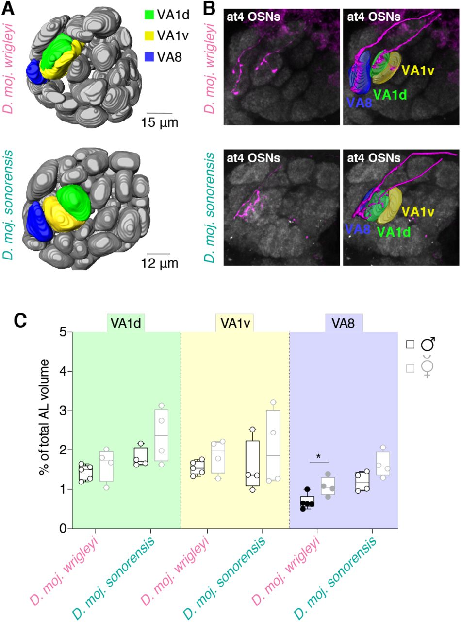 Conserved peripheral targets of R-HDEA-sensing neurons. A , Three-dimensional reconstruction of antennal lobes from representative female brains of D. moj. wrigleyi and D. moj. sonorensis . Neurobiotin-marked neurons in Figure 6B are highlighted: VA1d (green), VA1v (yellow), and VA8 (only present in D. moj. wrigleyi and D. moj. sonorensis in blue). VA8 is located ventrally to VA1v and anterior to VL2a in an area far off the DL3 glomerulus targeted by Or65a neurons in D. melanogaster . DL3 displays similar position in both D. melanogaster and D. mojavensis subspecies, see Table S1 and Figure S6C for details. Scale bar = 20 μm. B , Left top panel: Fluorescent staining for neurobiotin (magenta) and nc82 (grey) of D. moj. wrigleyi antennal lobe, backfilled from the at4 sensillum in D. moj. wrigleyi (identified by electrophysiological recordings; Figure 4E ). Right top panel: Reconstruction of the neurobiotin-marked neurons and their corresponding glomeruli reveals at4-housed neurons project to three glomeruli ( D. mojavensis VA8, VA1v and VA1d). Identification of glomeruli was verified by comparing the reconstructed images to the map of D. melanogaster AL ( Grabe et al., 2015 ) (See STAR Methods). See Figure S6D-F for backfilling of at1 sensilla. Left panel: Neurobiotin backfilled neurons from at4 sensillum in D. moj. sonorensis that innervate VA8, VA1v and VA1d. Images in the four panels correspond to a projection of 40 Z-stacks (Watch Movie S7-8). See Table S1 for more details on glomerular identity and volumes in both subspecies ( D. moj. wrigleyi and D. moj. sonorensis ). C , Volumes of VA1d, VA1v, and VA8 glomeruli normalized to the total AL volume in D. moj. wrigleyi and D. moj. sonorensis (males in black, females in grey). Filled circles indicate significant difference between both sexes of the same subspecies. Mann Whitney U test, ns P > 0.05; * P