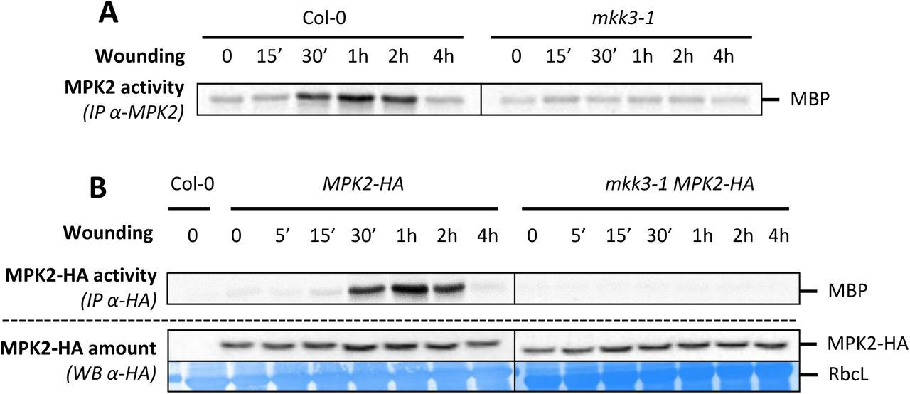 MPK2 activation by wounding depends on MKK3 A. Kinase activity of MPK2 after immunoprecipitation with an anti-MPK2 specific antibody from Col-0 and mkk3-1 leaves following wounding at the indicated times. B. Kinase activity of MPK2 after immunoprecipitation with an anti-HA antibody from leaves of plants expressing an HA-tagged version of MPK2 in Col-0 and mkk3-1 leaves following wounding at the indicated times. Protein amount is monitored by western-blot using anti-HA antibody. Equal loading is controlled by Coomassie staining.