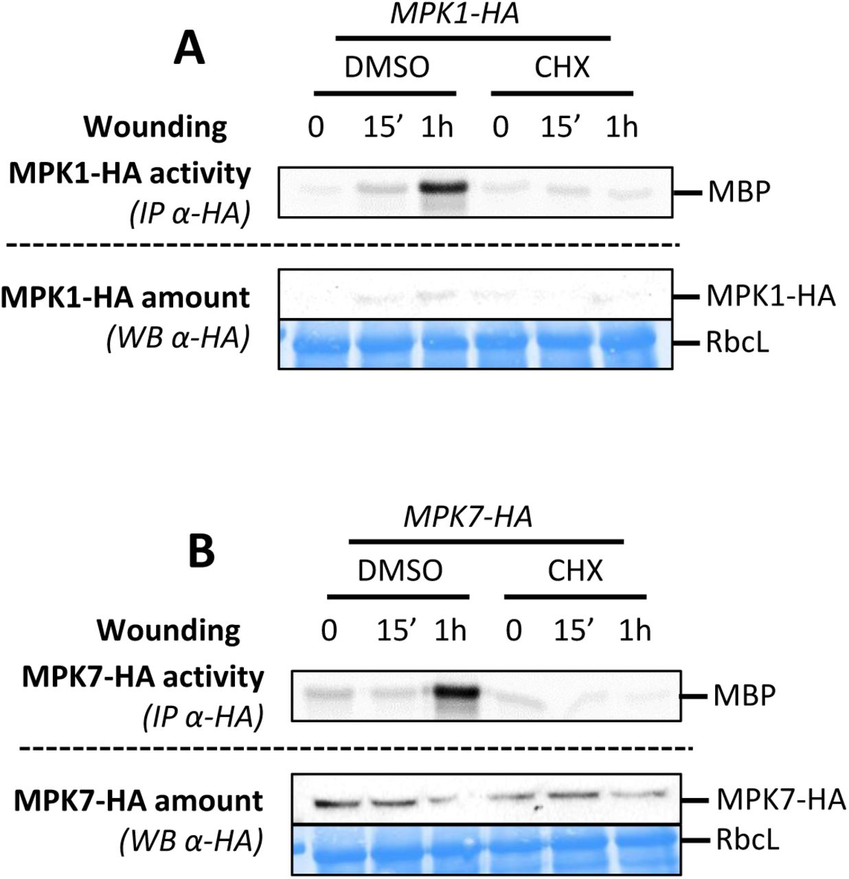 MPK1, MPK2 and MPK7 are activated by JA A to C. Kinase activity of MPK2 (A), MPK1 (B) and MPK7 (C) after immunoprecipitation with an anti-HA antibody from leaves of WT (A, B, C) and mkk3-1 (A, C) plants expressing a HA-tagged version of MPK2 (A), MPK1 (B) and MPK7 (C) following 50µM JA or MOCK (EtOH) treatments for indicated times. Protein amount is monitored by western-blot using anti-HA antibody. Equal loading is controlled by Coomassie staining.