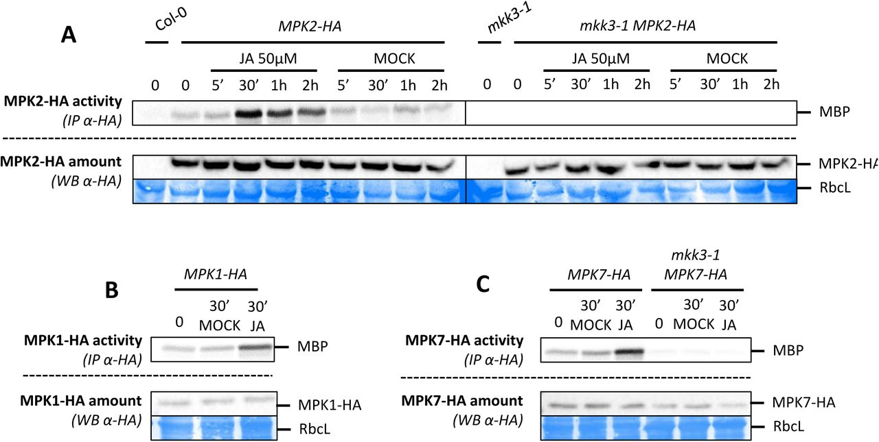 "MPK3 and MPK6 activation depends on MKK4/MKK5 but not on MKK3 A and B. Western-blot using antibody raised against the phosphorylated form of ERK2 (anti-pTpY) in indicated genetic backgrounds after wounding. Equal loading is controlled by Coomassie staining. Figure S13A is an un-cropped version of western blot shown in figure 6A . C. Kinase activity of MPK2, MPK3, MPK6 after immunoprecipitation with an appropriate specific antibody from wounded leaves of Col-0 and mkk4mkk5 plants. MPK3/6 activation was monitored by western-blot using antibody raised against the phosphorylated form of ERK2 (anti-pTpY). Equal loading is controlled by Coomassie staining. D to F. Western-blots using antibody raised against the phosphorylated form of ERK2 (anti-pTpY) in indicated genetic backgrounds. ""?"" (D) referred to a map3k14-1 specific band which could correspond to the over activation of clade-C MAPKs. Equal loading is controlled by Coomassie staining."