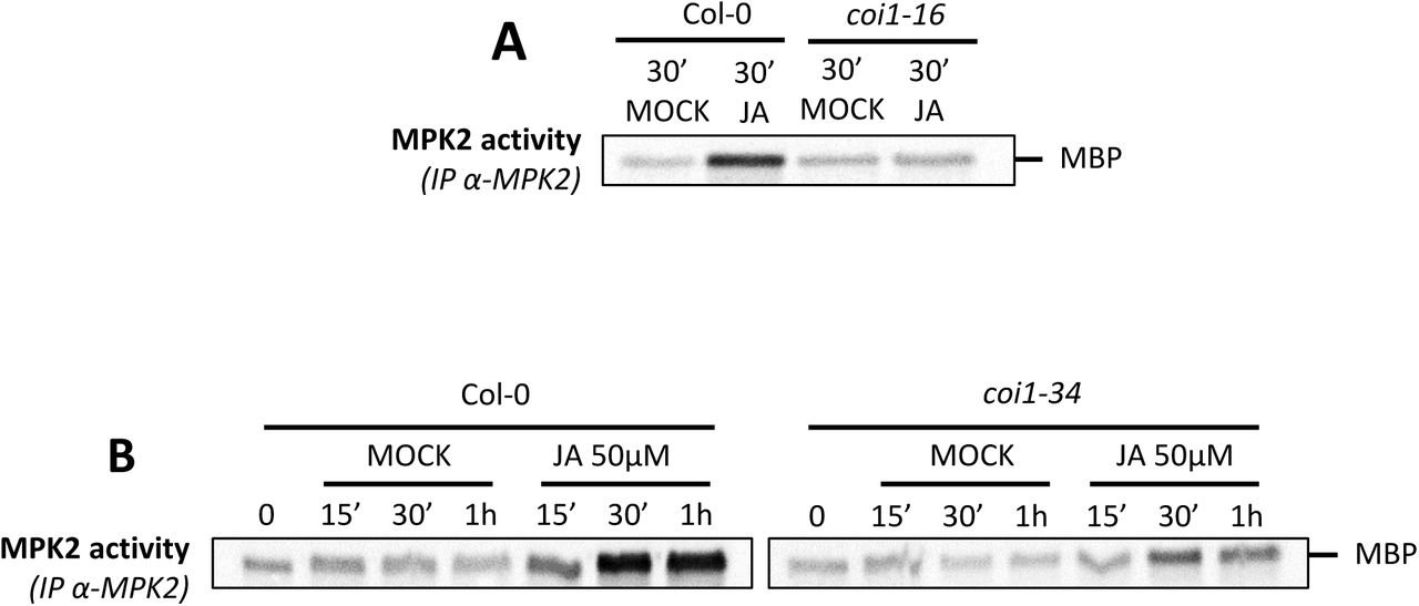 MPK3 and MPK6 activity is independent of JA A. Western-blots using antibody raised against the phosphorylated form of ERK2 (anti-pTpY) in in vitro Col-0 and mkk3-1 plantlets treated with 50µM JA, 1µM flg22 and MOCK (EtOH). Equal loading is controlled by Coomassie staining. B. Western-blots using antibody raised against the phosphorylated form of ERK2 (anti-pTpY) in Col-0 and coi1-34 in response to wounding. Equal loading is controlled by Coomassie staining.