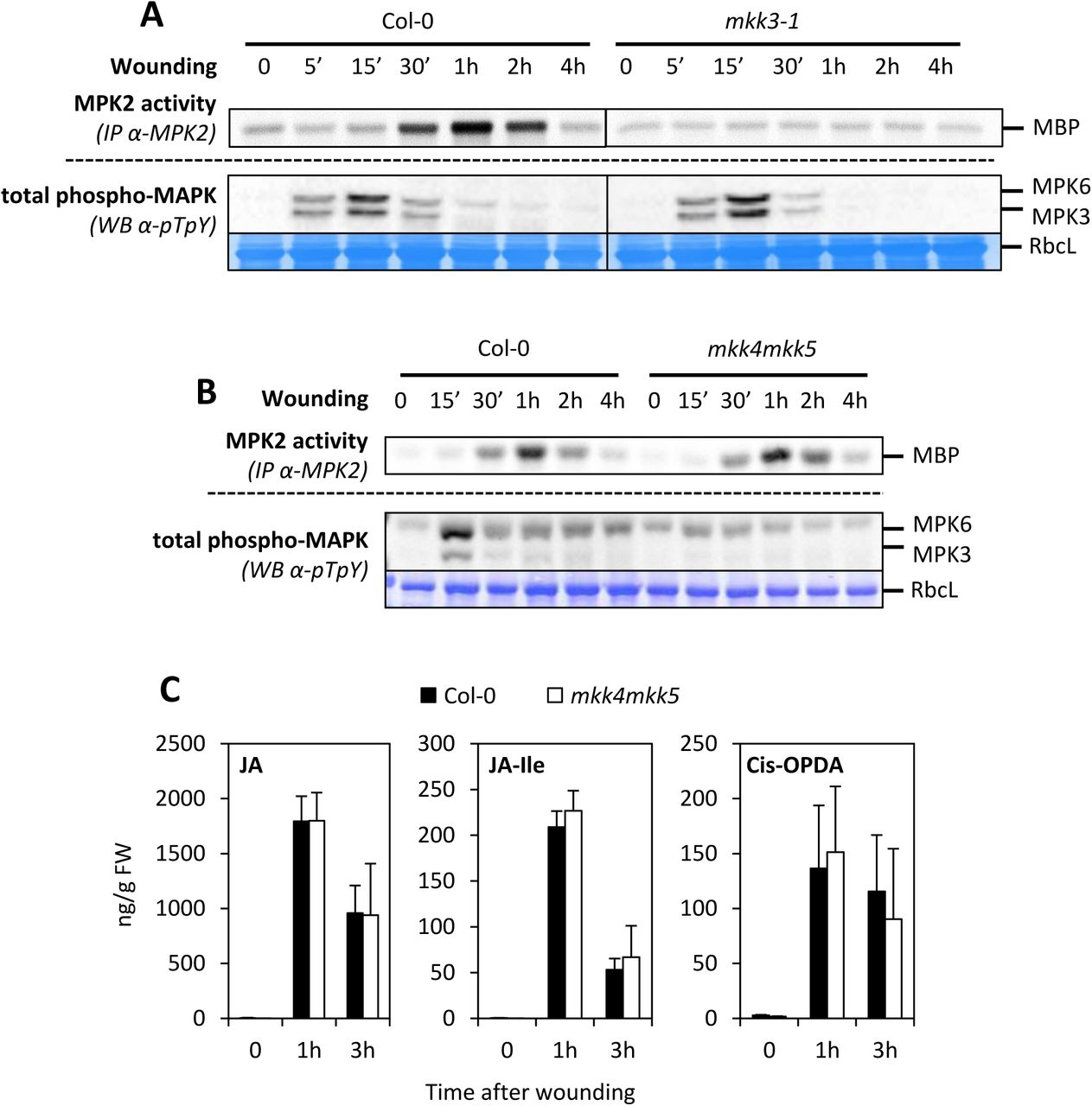 MKK4/5-MPK3/6 are not involved in wound-induced JA production A and B. Kinase activity of MPK2 after immunoprecipitation with an anti-MPK2 specific antibody from Col-0 (A, B) and mkk3-1 (A) and mkk4mkk5 (B) leaves following wounding at indicated times. MPK3/6 activation was monitored by western-blot using antibody raised against the phosphorylated form of ERK2 (anti-pTpY). Equal loading is controlled by Coomassie staining. C. JA, JA-Isoleucine and Cis-OPDA contents in wounded leaves of Col-0 and mkk4mkk5 . Values are mean±SE of 3 biological replicates.
