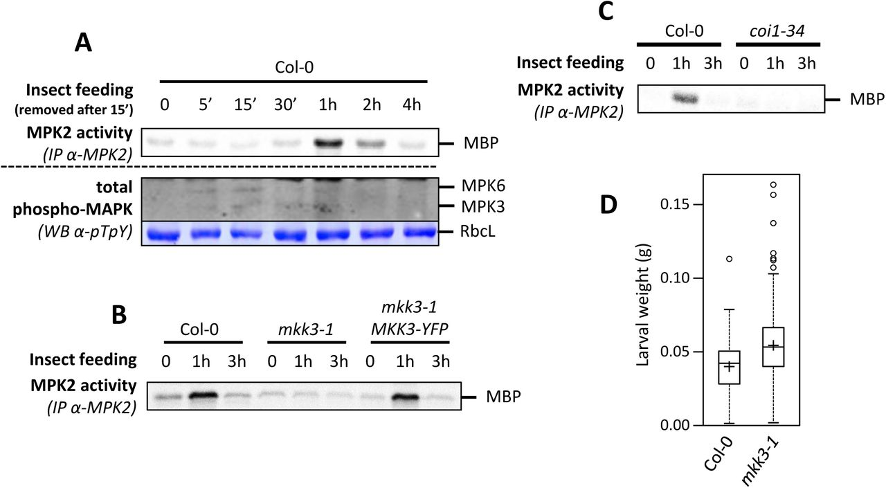 MKK3-MPK2 module is activated by Spodoptera littoralis feeding A. Kinase activity of MPK2 after immunoprecipitation with an anti-MPK2 specific antibody from leaves on which S. littoralis fed during 15 minutes before to be removed (at t=15'). MPK3/6 activation was monitored by western-blot using antibody raised against the phosphorylated form of ERK2 (anti-pTpY). Equal loading is controlled by Coomassie staining. B and C. Kinase activity of MPK2 after immunoprecipitation with an anti-MPK2 specific antibody from leaves on which S. littoralis fed for 1 and 3 hours in Col-0 and coi1-34 . D. Weight of S. littoralis caterpillars after feeding for 8 days on Col-0 and mkk3-1 rosettes. Box plot shows distribution of caterpillar weight (n > 120 in 5 biological replicates). Crosses show averages of biological replicates (39.5±5.2 and 54.4±6.6 mg for Col-0 and mkk3-1 , respectively [n=5]; statistical difference based on the Mann-Whitney test with p