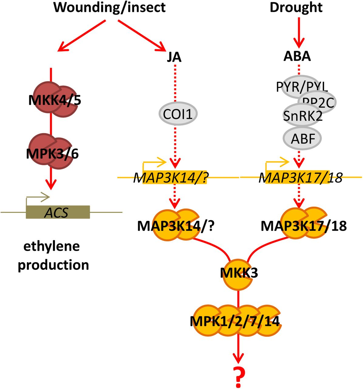 MPK1 and MPK7 activations by wounding require protein synthesis A and B. Kinase activity of MPK1 (A) and MPK7 (B) after immunoprecipitation with an anti-HA antibody from leaves of indicated genetic background following 100µM CHX and MOCK (DMSO) spraying prior to wounding. Protein amount is monitored by western-blot using an anti-HA antibody. Equal loading is controlled by <t>Coomassie</t> staining.