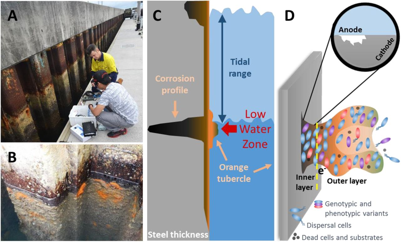 Presence Of Orange Tubercles Does Not Always Indicate Accelerated Low Water Corrosion Biorxiv
