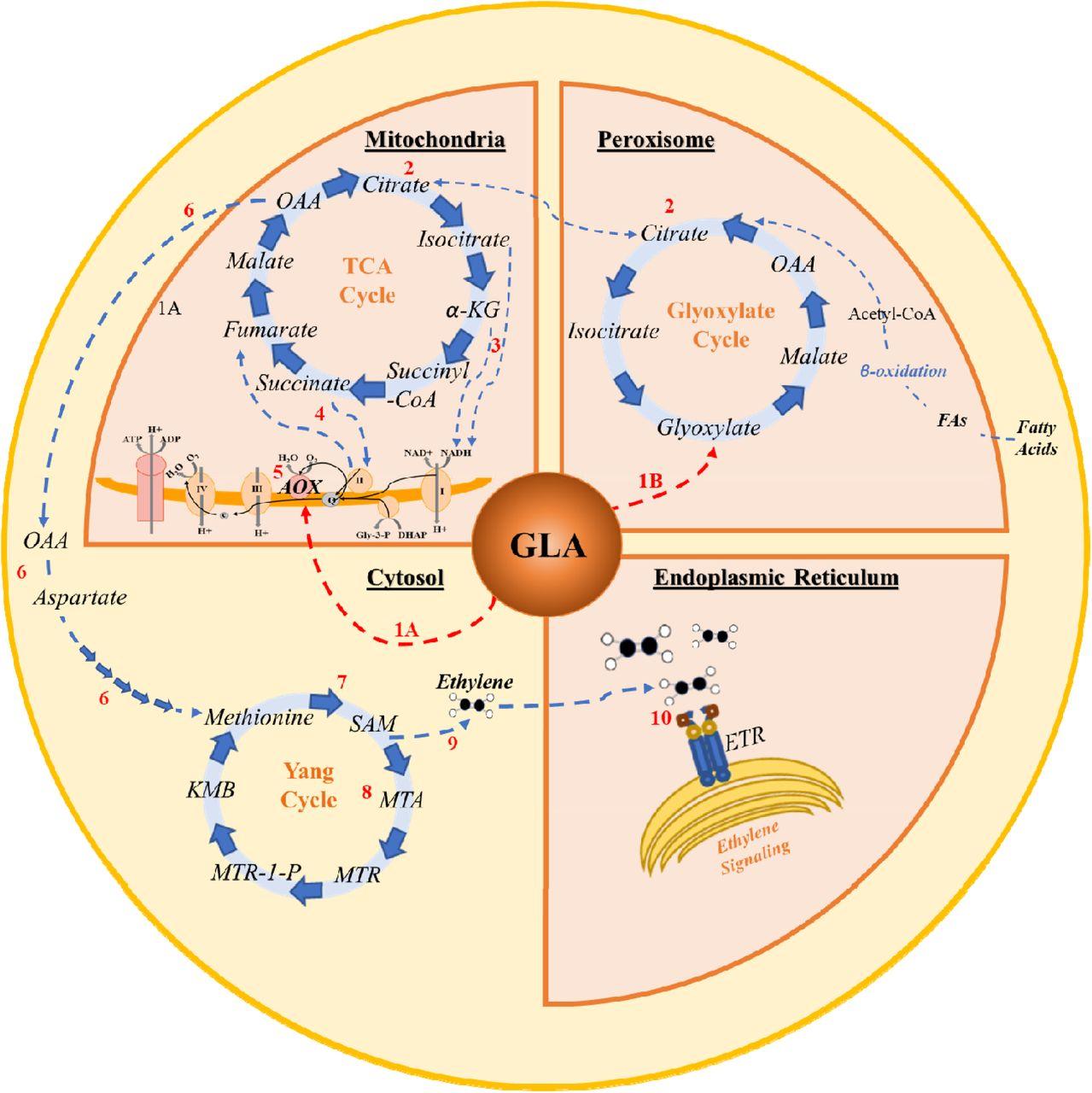 Glyoxylic acid overcomes 1-MCP-induced blockage of fruit