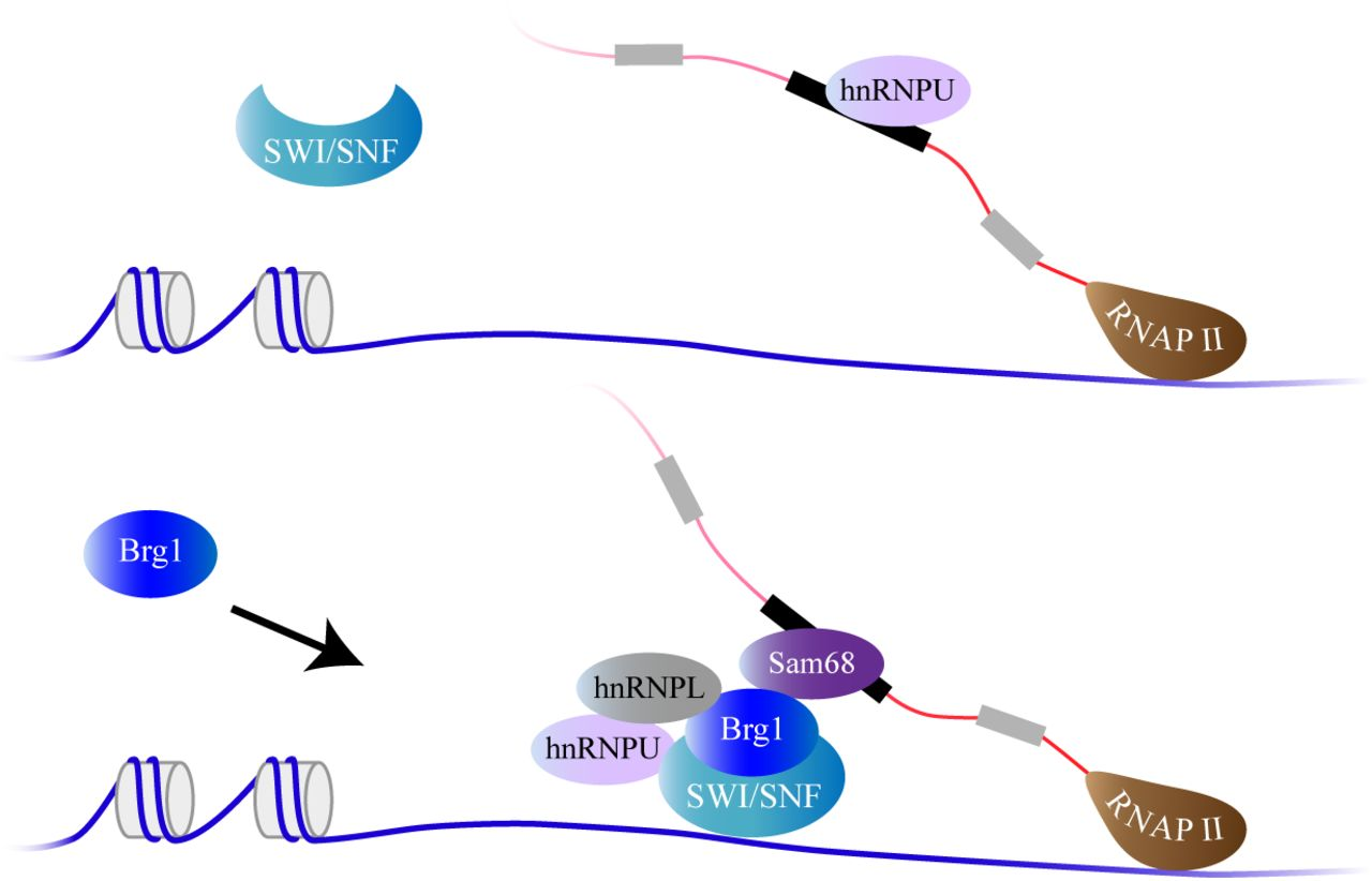 Model: BRG1 changes the recruitment pattern of RNA binding factor to alternative splicing exons in a context specific manner. MYL6 exon 6 has hnRNPU present in its vicinity at both chromatin and RNA level. Expression of BRG1 favours the recruitment of hnRNPL to this site in chromatin, while at the RNA level it recruits Sam68 and removes hnRNPU.