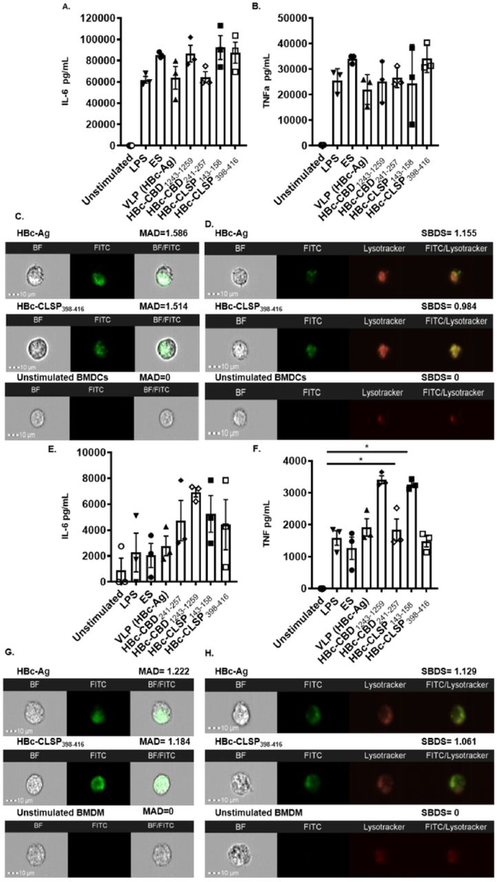 (A) Inflammatory cytokines production by mouse bone marrow-derived DCs (BMDCs) and mouse bone marrow-derived macrophages (BMDMs) (B) in response to VLPs. BMDCs and BMDMs at 1×10 6 /ml were stimulated in vitro with 10 µg/ml VLPs (HBc-Ag, HBc-H 112-128 , HBc-CBD 1243-1259, HBc-CBD 241-257 , HBc-CLSP 143-158 and HBc-CLSP 398-416 ) and with 50 µg/ml ES and 0.1 µg/ml LPS as positive controls. Unstimulated BMDCs and BMDMs served as negative controls. Supernatants were harvested after 24 hours for IL-6 and TNF α cytokine analyses measured by CBA. The bars represent mean ± SEM. Statistical analyses were carried out using the Kruskal-Wallis test (multiple comparisons). Significant differences between groups are represented by (*P≤0.05) with a line. Chart bars represent BMDCs and BMDMs grown from three individual mice from one representative experiment of two separate experiments. (C) Representative images of fluorescein-conjugated VLPs internalisation in the BMDCs and BMDMs (G). BMDCs and BMDMs at 1×10 6 /ml were incubated with 10 μg/ml fluorescein-conjugated VLP (HBc-Ag and HBc-CLSP 398-416 ) for 24 hours. As a negative control, unstimulated BMDCs and BMDMs were examined. Cell internalisation was determined by Amnis ImageStreamX cytometer compared to unstimulated BMDCs and BMDMs. Images shown, from left to right, show individual Brightfield images (BF) in the white channel, fluorescent-labelled stimulus (FITC) in the green channel and the combination of both BF/FITC merged channels. The internalisation mean absolute deviation (MAD) is included above its images. The positive MAD value represents internalisation, and negative values represent poor internalisation. (D) Representative images of fluorescein-conjugated VLPs co-localization in the BMDCs and BMDMs (H). BMDCs and BMDMs at 1×10 6 /ml were stained with Lysotracker to visualise the cellular lysosome compartment and subsequently stimulated with 10 μg/ml fluorescein-conjugated VLP (HBc-Ag, and HBc-CLSP 398-416 ) for 24 h