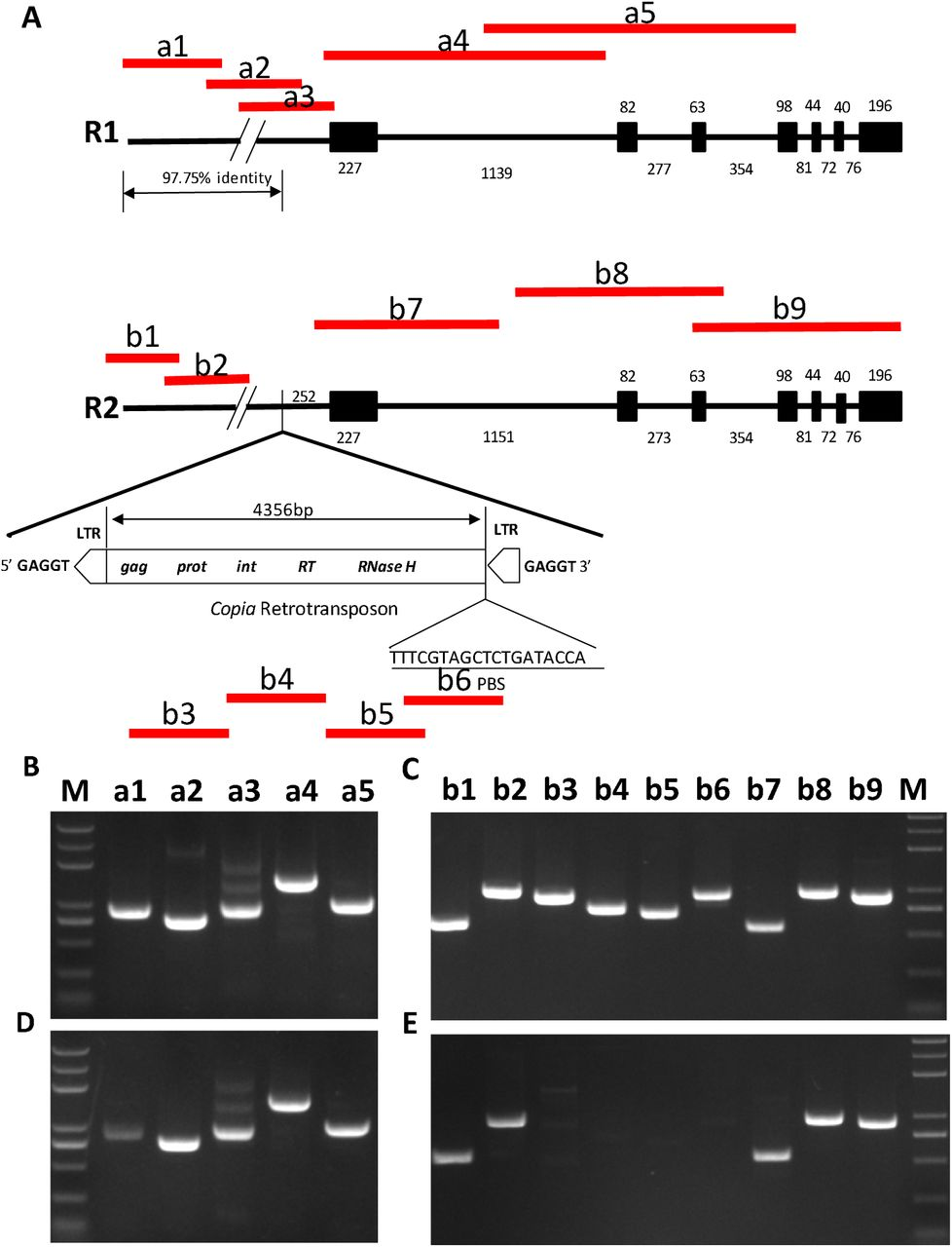 Cross validation of DNA methylation status of BnSHP1.A9 in R1/R2 silique genomic DNA. A, amplified fragments illustrated in BnSHP1.A9 DNA from R1/R2 B, D : chop-PCR with BnSHP1.A9 gDNA template and McrBC digested gDNA of 20 DAF silique from R1 without McrBC digestion; a1: −2412/−1542, a2: −1616/−882, a3: −902/−30, a4: −49/+1413, a5: +1034/+2007 C, E : chop-PCR with BnSHP1.A9 gDNA template and McrBC digested gDNA of 20 DAF silique from R2. b1: −7412/−6823, b2: −6753/−5765, b3: −3191/−2285, b4: −2538/−1788, b5: −1707/−1027, b6: −1035/−102, b7: −49/+436, b8: +1035/+2012, b9: +1883/+2793 M: Trans 2k plus.