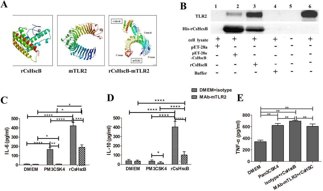 <t>rCsHscB</t> is a novel agonist for TLR2 to induce immune responses of macrophage. A Molecular docking analysis of binding TLR2 with CsHscB. B Pull-down assay analysis of interaction of TLR2 and rCsHscB. The cells stimulated by supernatant of lysate from E. Coli transfecting with Vector controls (pET-28, His-tagged control, Lane 1), pET-28a-CsHscB vectors (pET-28-CsHscB, unpurified, Lane 2), purified rCsHscB-stimulated cells (Lane 3), binding buffer (Lane 4) and medium (Lane 6) for 24 h, the cells were lysed and incubated with rCsHscB immobilized on <t>Ni-NTA</t> beads, and bead-bound proteins were loaded onto a gel for immunoblotting for TLR2 and rCsHscB, respectively. Lane 5 represents negative control for pull-down assay; C∼E The production of IL-6 (C), IL-10 (D) and TNF-α (E) were hindered in rCsHscB-stimulated cells when TLR2 was blocked by neutralizing antibody. PM 3 CSK 4 were used as TLR2 ligand for positive controls. Quantitative data are representative of mean ± SEM of at least three independent experiments. * P