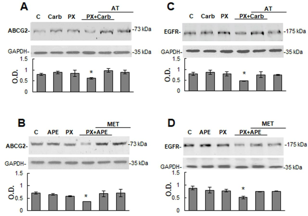Expression of ATP binding cassette G2 transporter and epidermal growth factor receptor in MDA-MB231 cells. The expression of ATP binding cassette G2 (ABCG2) and epidermal growth factor receptor (EGFR) in tumor cells was analyzed by Western blot. Cells were treated for three cycles with paclitaxel (PX) (10 −8 M) combined with A) and C) carbachol (Carb) (8.6×10 −12 M) or with B) and D) arecaidine propargyl ester (APE) (1.1×10 −5 M) in the absence or presence of atropine (AT) (10 −9 M) or methoctramine (MET) (10 −5 M). Molecular weights are indicated on the right. Densitometric analysis of the bands was expressed as optical density (O.D.) units relative to the expression of glyceraldehyde 3-phosphate dehydrogenase (GAPDH) protein used as loading control. One representative experiment of 3 is shown (*P