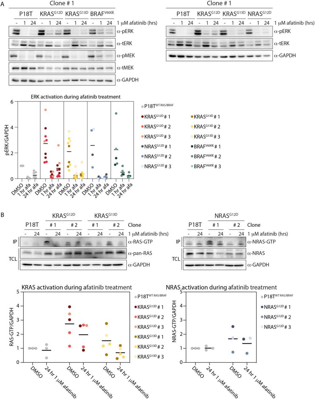 KRAS G12D and BRAF V600E RPM lines show residual MAPK pathway activity in the presence of pan-HER inhibition. ( A ) Organoids expressing oncogenic KRAS (G12D and G13D), NRAS (G12D) and BRAF (V600E) variants show enhanced basal ERK phosphorylation levels compared to P18T organoids. Pan-HER inhibition (1 µM afatinib) shows sustained ERK and MEK phosphorylation in KRAS G12D and BRAF V600E organoids compared to P18T, KRAS G13D and NRAS G12D organoids. Top panels are representative biochemistry experiments on clone # 1 from n=3. Bottom scatter plot depicts ERK phosphorylation levels normalized to GAPDH for all clones (n≥4). Baseline of P18T (DMSO) is set at 1. ( B ) Top panels depict biochemistry on RAS activity (GTP-loading) in unperturbed culture conditions and pan-HER inhibition (1 µM afatinib) for KRAS (G12D and G13D) and NRAS (G12D) mutant clones # 1 and 2 compared to P18T CRC organoids. RAS immunoblots from RAS pull-down assay are shown (RAS-GTP), together with a RAS immunoblot from total cell lysates as loading control. HRAS, KRAS, and NRAS isoforms are detected in mutant KRAS pull-down assays. NRAS isoforms are detected in mutant NRAS pull-down assays. Representative from n = 3 independent experiments. Scatter plots below depict RAS-GTP levels normalized to GAPDH for all clones (n≥3). Baseline of P18T (DMSO) is set at 1.