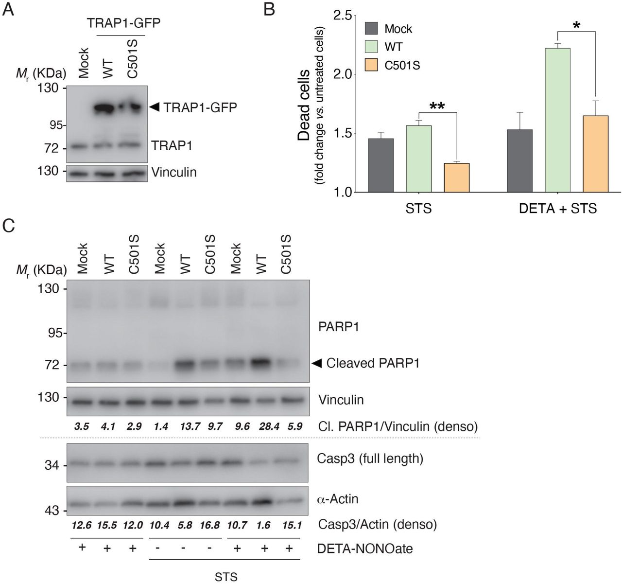 TRAP1 C501S mutant exerts protective role towards staurosporine-induced cell death A ) Western blot analyses of HeLa cell lysates were performed to check the expression levels of WT and C501S mutant forms of GFP-fused TRAP1 (TRAP1-GFP) which can be discriminated by the endogenous variant (TRAP1) by the use of an anti-TRAP1 antibody. Western blot shown is representative of at least n = 3 independent experiments giving similar results.  B ) The number of dead cells was evaluated by Trypan blue exclusion test in control cells transfected with an empty vector (Mock), as well as in cell expressing TRAP1 WT  (WT) and TRAP1 C501S  (C501S) treated for 4 h with 200 nM staurosporine (STS), in the presence or absence of the NO donor DETA-NONOate (250 μM, maintained for 22-24 h before STS treatment). Data are shown as fold change of dead cells with respect to untreated cells, and represent the mean ± SEM of n =5 independent experiments done in duplicate. * p  = 0.05; ** p  = 0.01.  C ) Western blot analyses of HeLa cells treated as in (B) were performed to evaluate cleaved PARP1 and pro-caspase 3 (Casp3) protein levels. Vinculin and α-actin were used as loading controls. Densitometric analyses (denso) of PARP1/Vinculin or Casp3/actin are shown below each lane. Western blots shown are representative of at least n = 3 independent experiments giving similar results.