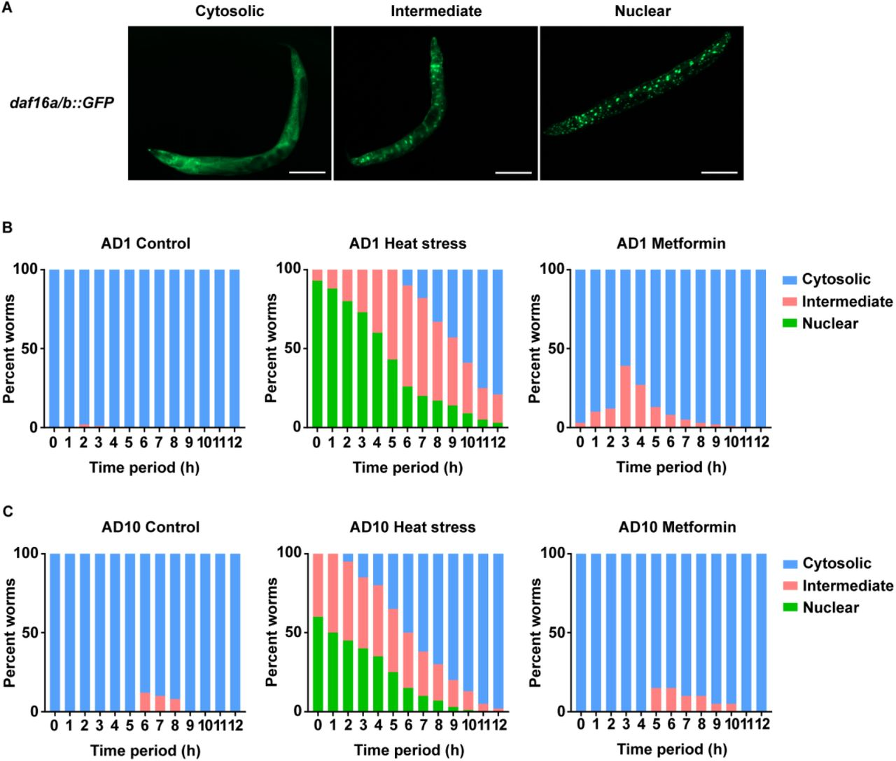 Rapamycin co-treatment alleviates metformin toxicity in human primary cells. Pre-senescent (PD44) primary human skin fibroblasts were treated with indicated doses of metformin in presence or absence of indicated concentrations of rapamycin (Rap) for 24 ( A, B ) and 20 ( C, D ) hours. Cell death ( A , LDH assay), cell survival ( B , MTT assay), ATP content ( C ) and mitochondrial membrane potential ( D , JC-1 staining) were measured; the data are complementary to Fig. 7A-C ; values are relative to the respective untreated control (no rapamycin, no metformin) for each assay. n=3, mean and SEM are presented, two-tailed unpaired t-test was used for the statistical analysis, statistical values are shown in Table S2 ; * p