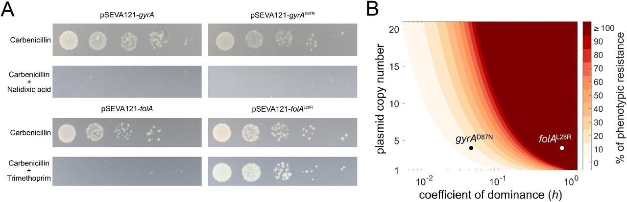 Genetic dominance limits the phenotypic contribution of horizontally transferred recessive alleles. (A) Pictures of a representative replicate of the conjugation assays. Overnight cultures of spots inoculated from 10-fold dilutions of conjugation mixes (10 0 to 10 −4 , from left to right) on plates selecting for transconjugants. Selection on <t>carbenicillin</t> reveals the actual number of transconjugants; selection on carbenicillin plus nalidixic acid or trimethoprim reveals the number of transconjugants carrying gyrA and folA alleles and expressing the resistant phenotype. (B) Antibiotic resistance level conferred by a plasmid-encoded resistant allele in the recipient bacterium (when a wild-type copy of the gene is present in the chromosome), assuming phenotypic resistance as the product of plasmid copy number and the coefficient of dominance of the allele. Experimental data are presented for gyrA D87N and folA L28R in plasmid pSEVA121.