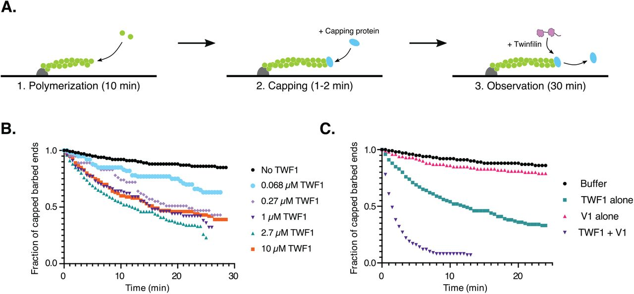 Twinfilin-1/twinfilin-2 knockout leads to an accumulation of F-actin on endosomes at the perinuclear region. (A) Phalloidin staining of wild-type B16-F1, and (B) twf1/twf2-KO cells after 7.5 min uptake of 20 μ g/ml AlexaFluor-647 transferrin. Scale bar = 20 μ m. The dotted square indicates the perinuclear region magnified in the insert. (C) Mean F-actin intensities in transferrin-positive endosomes of wild-type and twf1/twf2-KO cells as measured from AlexaFluor-555 phalloidin stained cells after 7.5 min intake of 20 μ g/ml AlexaFluor-647 phalloidin. Numbers of measured cells were: B16-F1 wt = 2,518, twf1/2-KO-g3 = 3,637, twf1/2-KO-g3 + EGFP-TWF1 = 158. Statistical significances were calculated with Mann-Whitney two-tailed test. ****, p