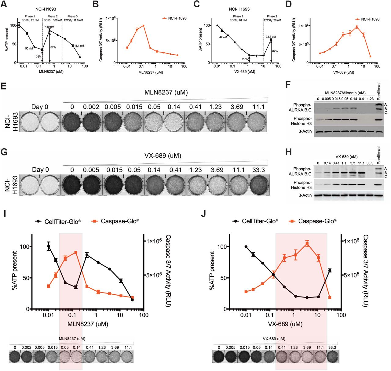 Aurora A inhibitors at higher concentrations antagonize their own cytotoxic activity and restore growth. a, NCI-H1693 cells were treated with serial concentrations of MLN8237 for four days and cell viability was measured with a CellTiter-Glo assay, which measures ATP. b, NCI-H1693 cell line was treated with serial concentrations of MLN8237 for two days and active apoptosis was measured with a CaspaseGlo 3/7 assay. c, d, CellTiter-Glo and CaspaseGlo 3/7 assays were repeated with VX-689 treatments. Data are means of triplicate biological replicates with s.d. Some error bars are smaller than the data symbols. e, NCI-H1693 cells were treated with serial concentrations of MLN8237 or g, VX-689 for seven days and cell growth quantified with a crystal violet staining assay. f, Cell lysates of NCI-H1693 cell line were collected 48-hours after treating with MLN8237 or h, VX-689 and immunoblotted to measure phosphorylated histone H3 and phosphorylated Aurora A, B, and C. Paclitaxel was used in both sets of immunoblots as positive control and B-Actin was used as internal immunoblotting control. i, j, Overlay of cell viability, caspase 3/7 activity and crystal violet staining images with immunoblotting results at Aurora A kinase selective and non-selective (pan-Aurora kinase) inhibitory concentrations of MLN8237 and VX-689.