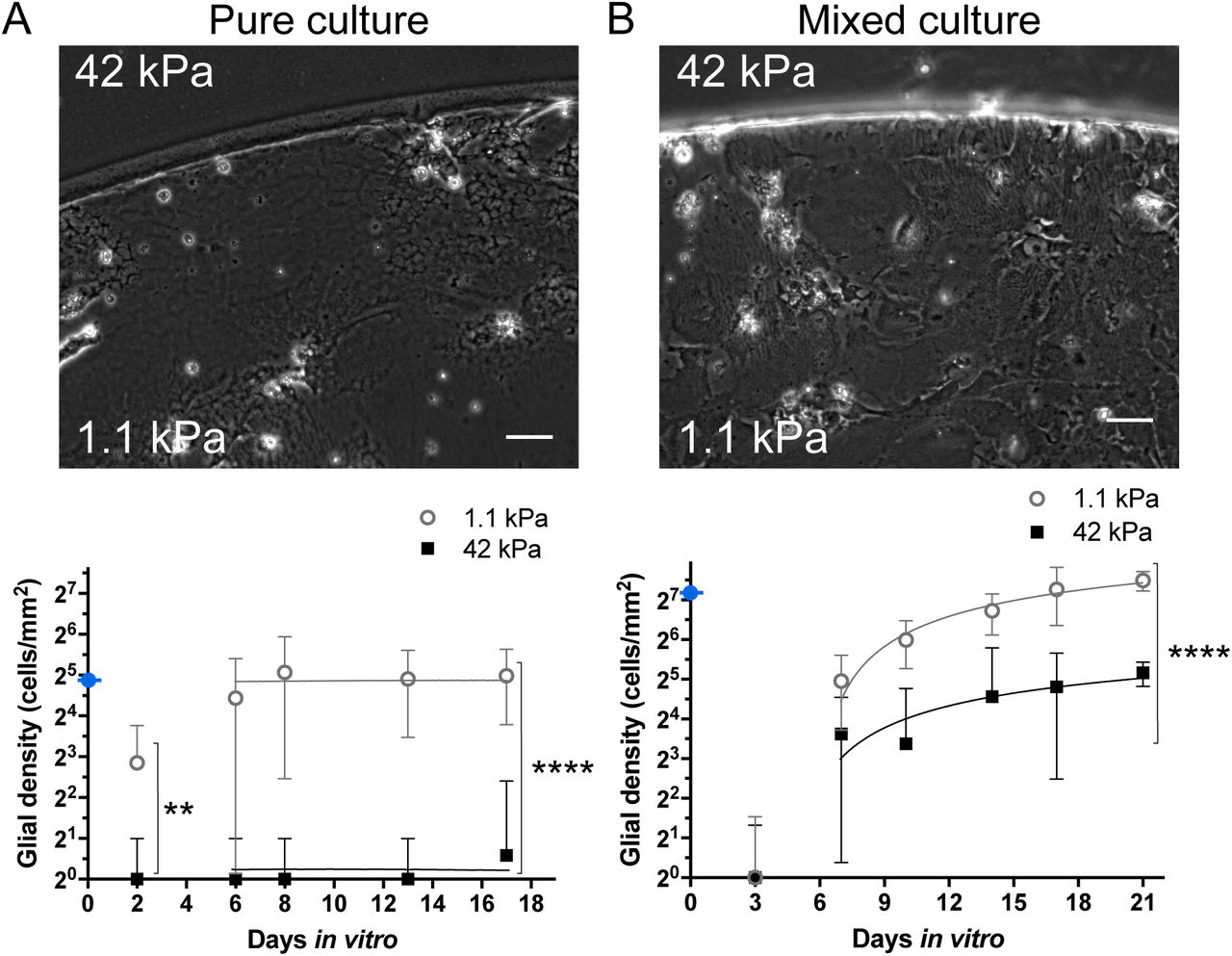 """Glial cell initial adhesion and proliferation on poly-L-lysine/laminin coated substrates in DMEMs culture medium. A - Glial cells from pure culture at the stiff (42 kPa) - soft (1.1 kPa) frontier on a """"concentric"""" pattern of rigidity at 17 DIV, and the evolution of the cell density over time (days in vitro, DIV) on stiff (black squares) and soft (white circles) regions. ** denotes that the two means are significantly different, p (stiff vs. soft) = 0.0016 (2 DIV); ****, p"""