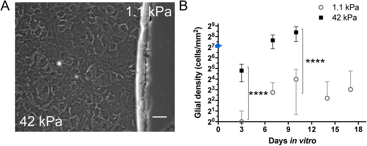 "Glial cell initial adhesion and proliferation in mixed cultures in DMEMs medium on fibronectin coating. A - Phase contrast imaging of glial cells at the border of stiff (42 kPa) and soft regions (1.1 kPa) at 21 DIV of a ""concentric"" pattern of rigidity. Scale bar: 50 µm. B - Evolution of the cell density over time (DIV) on stiff (black squares) and soft (white circles) regions. **** denotes that the two means are significantly different, p (stiff vs. soft at 3 and at 10 DIV)"