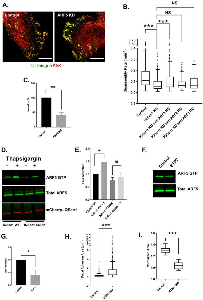 IQSec1 activates ARF5 to promote FA disassembly (A) Control and ARF5 depleted cells stained for β1-integrin (green) and FAK (red). Bar = 10µm. (B) FA disassembly rates in cells expressing GFP-Paxillin. Cells depleted of IQSec1 were transfected with plasmids expressing rapid cycling (RC) mutants of ARF6, ARF5 or ARF1. N for control = 520, IQSec1 KD = 314, IQSec1 KD and ARF5 RC = 570, IQSec1 KD and Arf6 RC = 252, IQSec1 KD and ARF1 RC = 362 focal adhesions. Data were collected from 5 cells per group. (C) Invasion of control vs. ARF5-depleted cells through a Matrigel plug. Data were compiled from 3 independent experiments. (D and E) Pulldown assay for ARF5 activity. HEK293 cells expressing ARF5 and mCherry-IQSec1 or an mCherry-IQSec1E606K mutant were cultured in serum and calcium free media for 3 hrs, then stimulated with thapsigargin [T] (1µM) in the presence of calcium (1mM) for 30 minutes. Cells lysates were then incubated with GST-GGA3 beads to precipitate active, GTP-bound ARF5. (D) A representative blot showing enhanced activation of ARF5 by thapsigargin in the presence of IQSec1 WT, but not catalytically inactive IQSec1 E606K mutant (E) Quantitation of results from three independent experiments shown in 'D'. (F) Representative blot showing decreased ARF5 activity in cells treated with the Orai1 inhibitor BTP2 (25µM). (G) Quantitation of results from three independent experiments shown in 'F'. (H) Quantification of FA size from control and STIM1 depleted cells, fixed and stained for vinculin as a marker for FAs, N for control = 330 and for STIM1 KD= 538 FA. 10 cells were analyzed per group. (I) Quantification cell migration out of spheroids derived from control and STIM1 depleted cells. Data was collected from 8 spheroids from each group.