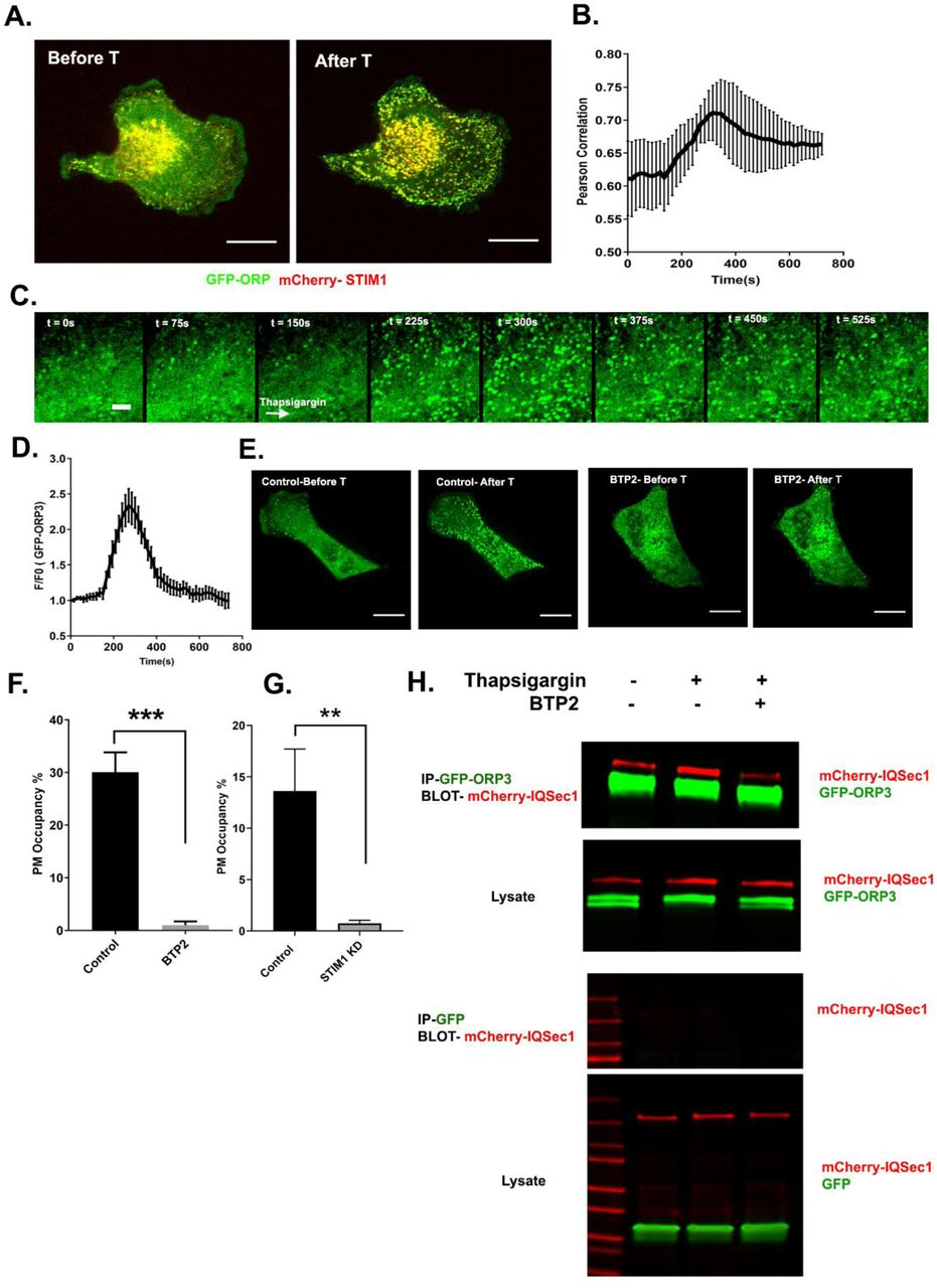 ORP3 is recruited to STIM1-positive ER/PM contacts in response to calcium influx (A) Still images from live cells (Movie S5) co-expressing GFP-ORP3 and mCherry-STIM1, before and after thapsigargin (1µM) treatment. Bar = 10µm. (B) Quantitation of ORP3 colocalization with STIM1 in response to thapsigargin, added 2.5 mins after the start of the movie. Data were collected from 5 cells. (C) Time series from MDA-MB-231cell expressing GFP-ORP3, imaged before and after thapsigargin (1µM) treatment (arrow indicates time of addition) showing robust recruitment of ORP3 to the PM after treatment with thapsigargin. Bar = 5µm (D) Quantitation of ORP3 fluorescence at the PM, after thapsigargin treatment. Data were collected from 5 cells. (E) Live cells expressing GFP-ORP3 were pre-treated with either DMSO or with BTP2 (25µM) for 2 hr, then treated with thapsigargin (1µM) for 5 min. Recruitment ORP3 to the PM is blocked by BTP2. Bar = 10µm (F) Percentage of GFP-ORP3 engaged with the PM after thapsigargin treatment in the presence and absence of BTP2. Data were collected from 5 cells per group. (G) Percentage of GFP-ORP3 localized to the PM after thapsigargin treatment in control vs. STIM1 depleted cells. Data were collected from 6 cells per group. (H) Interaction between IQSec1 and ORP3 is stimulated by SOCE and inhibited when calcium influx is blocked by BTP2. Note the shift in ORP3 mobility upon thapsigargin treatment. This experiment was repeated twice and a similar trend was noted.