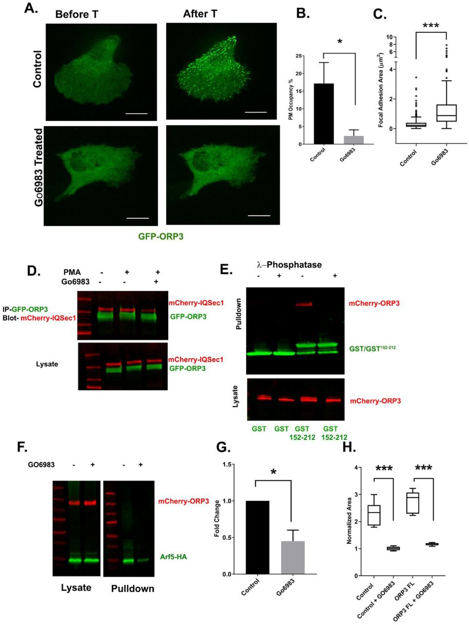 Phosphoregulation of ORP3 recruitment to the PM (A) MDA-MB-231cells expressing GFP-ORP3 were mock treated with DMSO or with the pan-PKC inhibitor Gö6983 (20µM) for 2 hr. Both groups of cells were then stimulated with thapsigargin (1µM) and imaged live. Images show a representative cell after 5 min thapsigargin treatment. Bar = 10µm. (B) Percentage of ORP3 engaged with the PM from control and Gö6983 treated cells after thapsigargin treatment. Data were collected from 5 cells per group. (C) Quantification of focal adhesion size in control and Gö6983 treated cells, fixed and stained for vinculin as a marker for FA, N for control = 330 and for Gö6983 = 372 FA. Data were collected from 5 cells per group ( D) Cells co-expressing mCherry-IQSec1 and GFP-ORP3 were incubated with PMA in the presence or absence of Gö6983. ORP3 immunoprecipitates were then probed for IQSec1. This experiment was done twice and a similar trend was noted. (E) Lysates of cells expressing mCherry-ORP3 were incubated (or not) with λ-phosphatase to dephosphorylate ORP3, then precipitated with GST alone, or a GST fusion containing IQSec1 residues 152-212. This experiment was done twice and a similar trend was noted. (F) Arf5 activity was measured by pulldown in the presence and absence of the PKC inhibitor Gö6983. (G) Quantitation of Arf5 activity, corresponding to panel 'F'. Data were compiled from three independent experiments. (H) Quantification cell migration out of spheroids from parental MDA-MB-231 cells or cells stably expressing-ORP3-FL. One batch of spheroids from each group was left untreated, and a second batch was treated with Gö6983 embedded in 3D collagen and imaged live for 22hrs. Data was collected from 7 spheroids from both groups