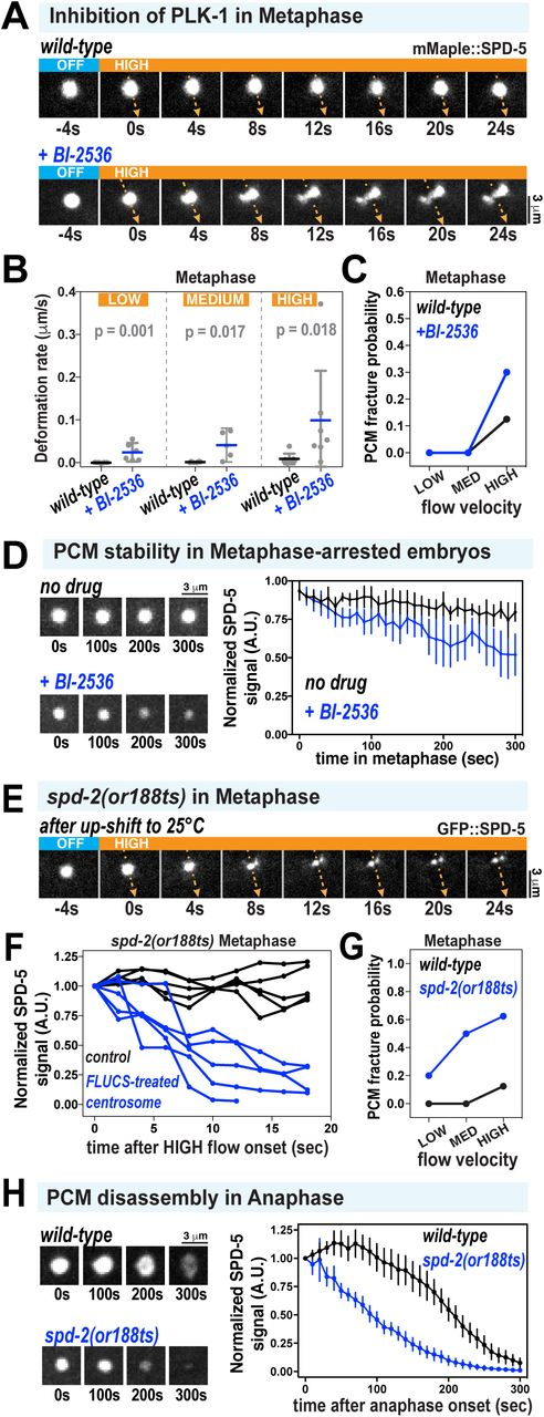 Acute inhibition of PLK-1 and SPD-2 induces premature weakening and disassembly of the PCM scaffold. A. PCM was subjected to high-flow FLUCS during metaphase in wild-type embryos or permeabilized embryos treated with 10 μM BI-2536 (inhibitor of Polo Kinases). Permeabilized embryos behaved as wild-type embryos during the first cell division (see methods; Carvalho 2011). B. PCM deformation rates in metaphase using low, medium, and high flow in wild-type and BI-2536-treated embryos. Wild-type data are from experiments in Figure Individual data points are plotted showing mean +/− 95% CI; n = 6-7 (wild-type) and n = 5-7 (BI-2536-treated). P-values were calculated using a Mann-Whitney test. C. PCM fracture probabilities from experiments in (B). D. Permeabilized embryos were arrested in metaphase using 10 μM MG-132, then treated with 0.1% ethanol (no drug) or 10 μM BI-2536. Data are plotted as normalized lines representing mean +/− 95% CI; n = 8 (no drug) and n = 10 (BI-2536-treated). E. Embryos expressing GFP::SPD-5 and a temperature-sensitive version of SPD-2 ( spd-2(or188ts) ) were allowed to assemble centrosomes at the permissive temperature (16°C), upshifted to the non-permissive temperature (25°C) for 1 min during prometaphase, then subjected to high-flow FLUCS during metaphase. F. For each experiment in spd-2(or188ts) embryos, one centrosome was subjected to FLUCS and the other left alone (control). Integrated fluorescent intensities of the SPD-5 signal were tracked over time, then normalized to the starting value. Each curve represents a single experiment. G. PCM fracture probabilities using low, medium, and high flow. Wild-type data are reproduced from Figure 1 . n = 7,7,8 (wild-type) and 5,6,8 ( spd-2(or188ts) ). H. Embryos were upshifted from 16°C to 23°C during metaphase, then imaged during anaphase. Data show integrated fluorescence densities of PCM-localized signal, plotted as normalized lines representing mean +/− 95% CI; n = 24 centrosomes in both wild-type